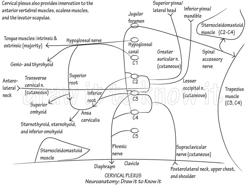 Gross Anatomy Glossary Cervical Plexus Draw It To Know It