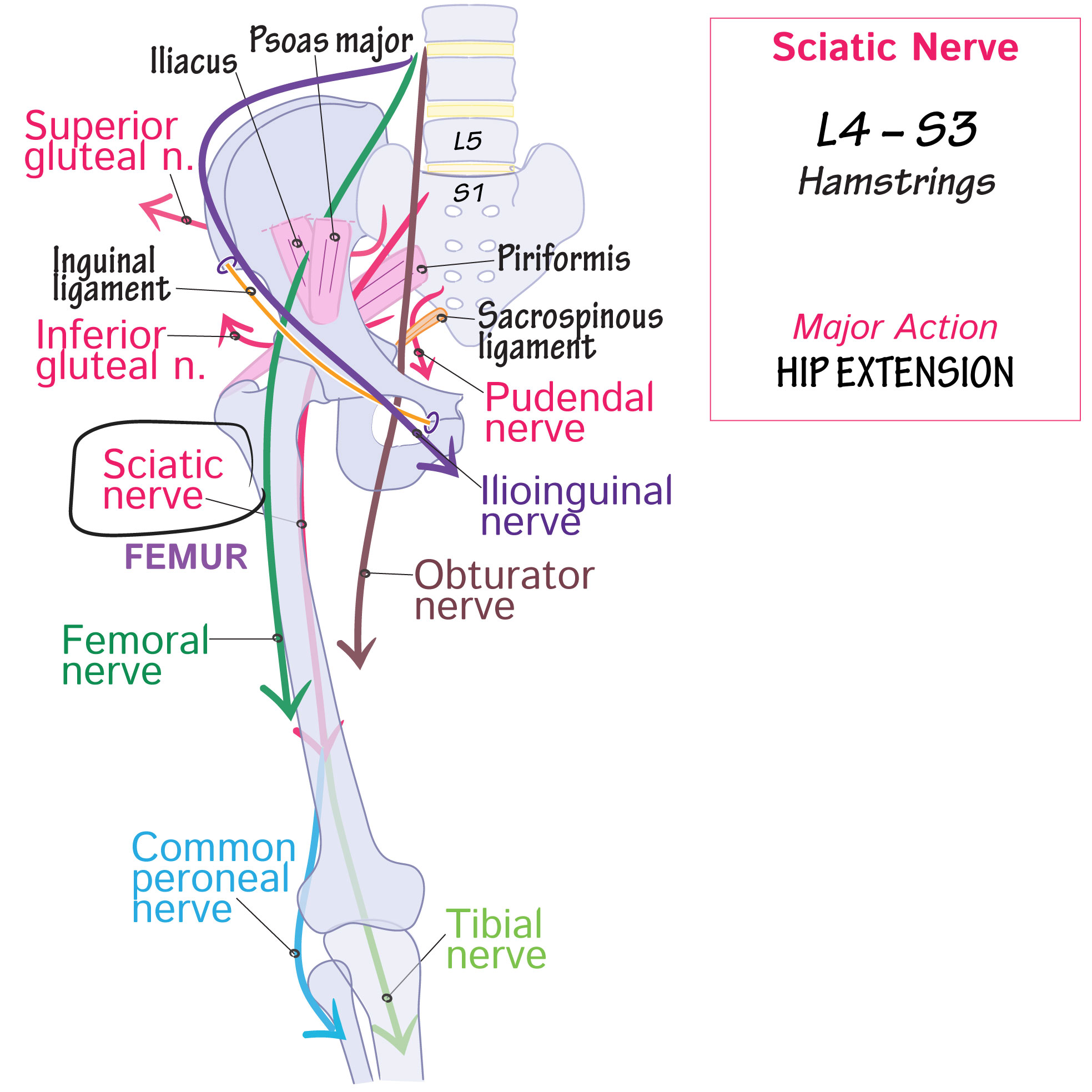 Gross Anatomy Glossary Sciatic Nerve Draw It To Know It