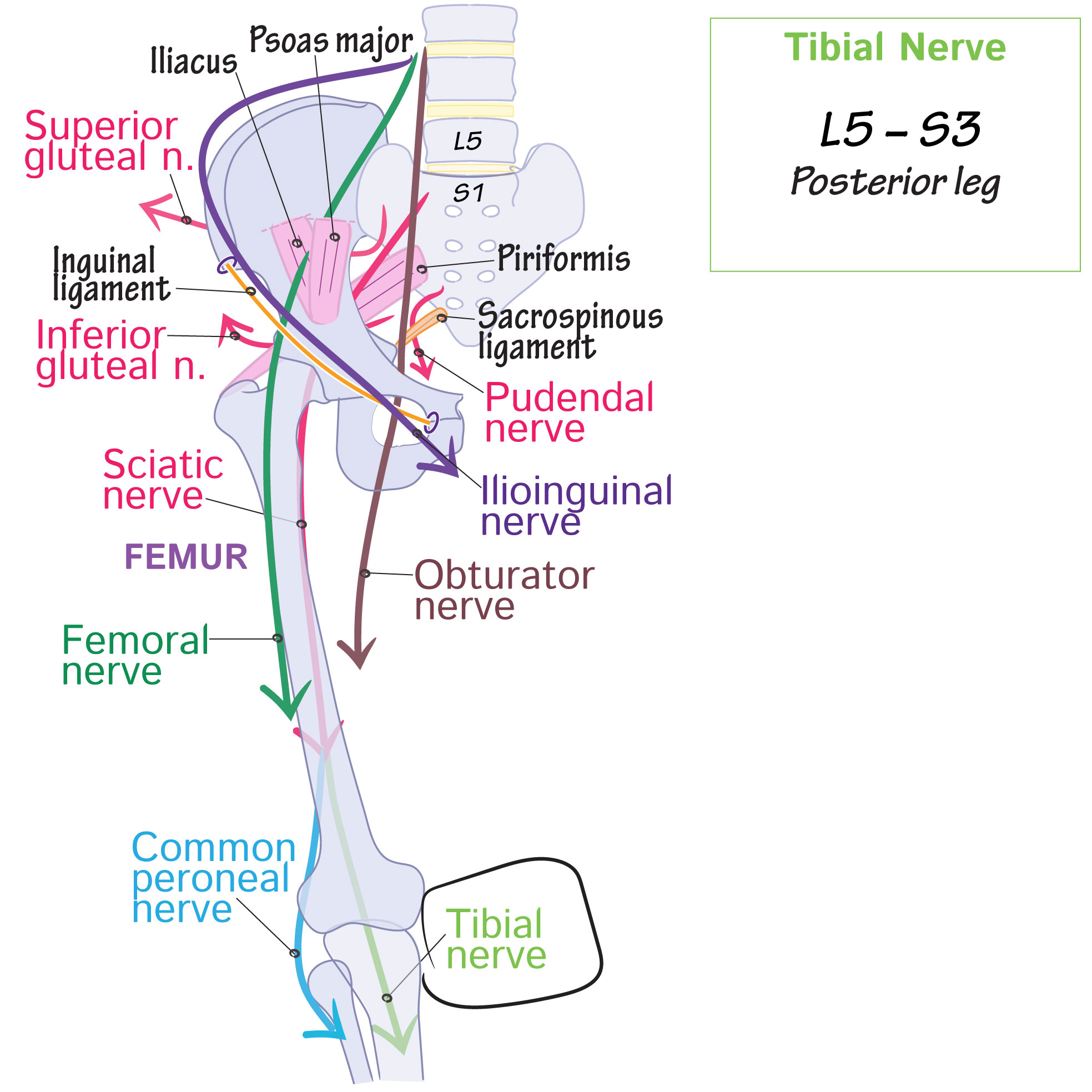 Gross Anatomy Glossary Lower Limb Tibial Nerve Draw It To Know It