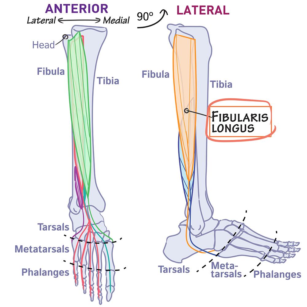 Gross Anatomy Glossary Peroneus Longus Aka Fibularis Longus