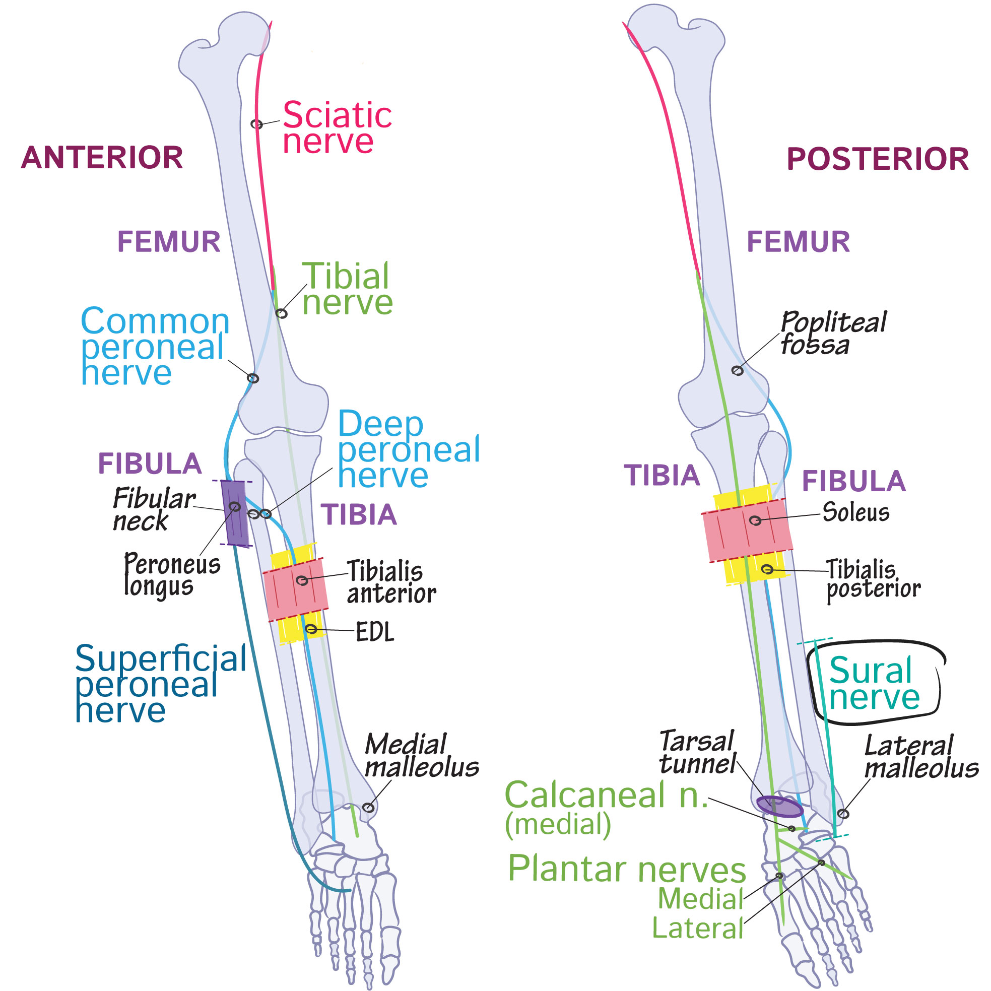Gross Anatomy Glossary: Lower Limb - Sural Nerve (Cutaneous) | Draw ...