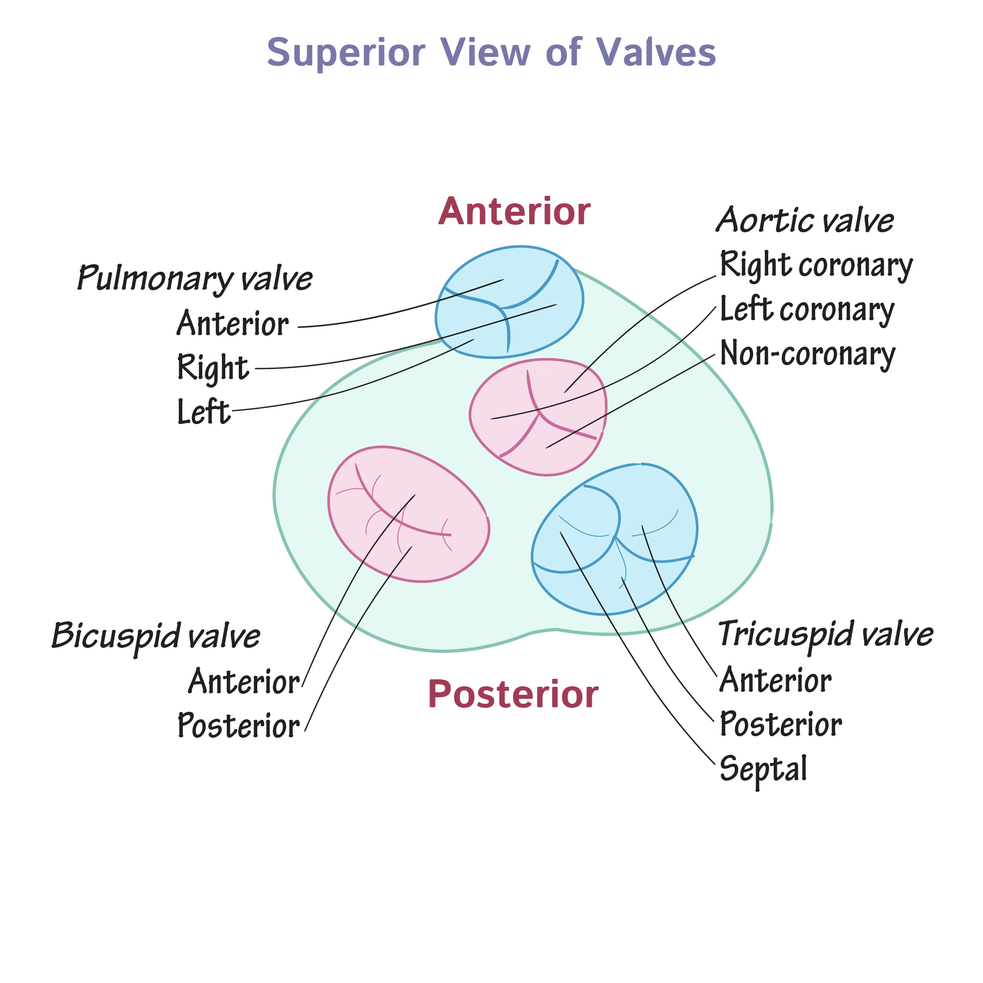 Gross Anatomy Glossary Heart Valves Draw It To Know It
