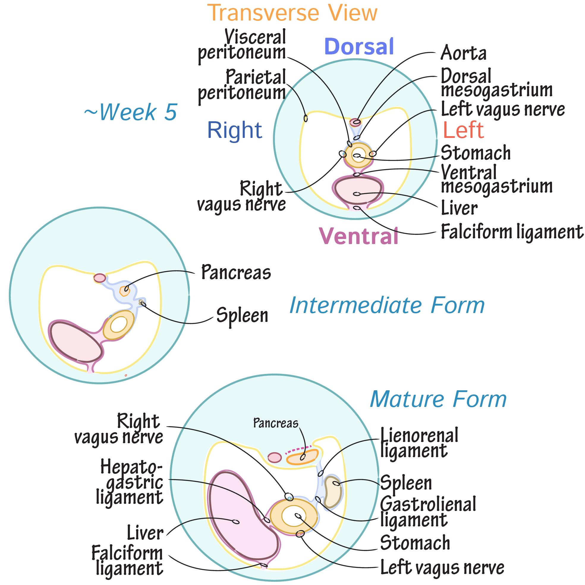 Embryology Glossary Abdominal Foregut Peritoneum Development