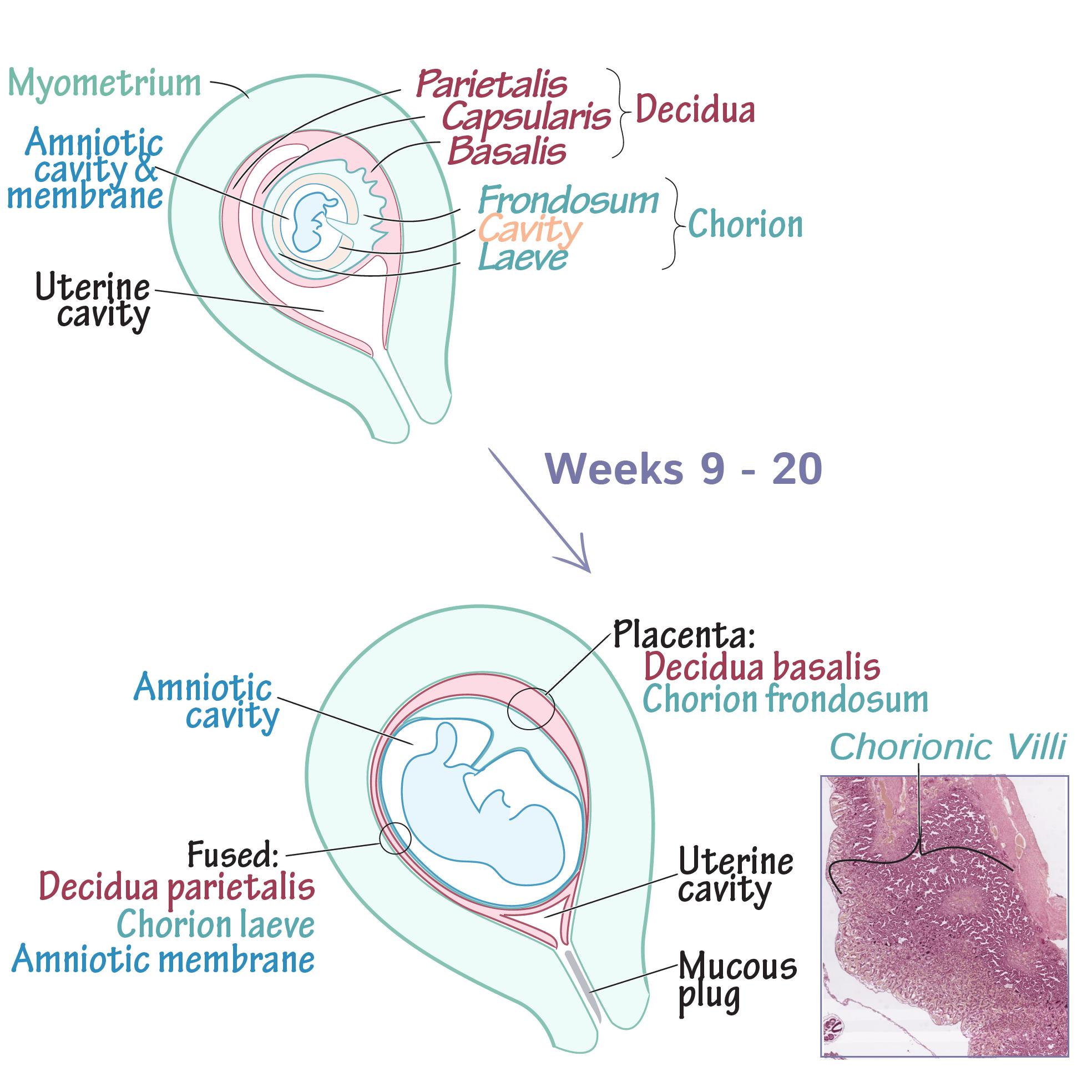 Embryology Glossary: Placenta Development   Draw It to Know It