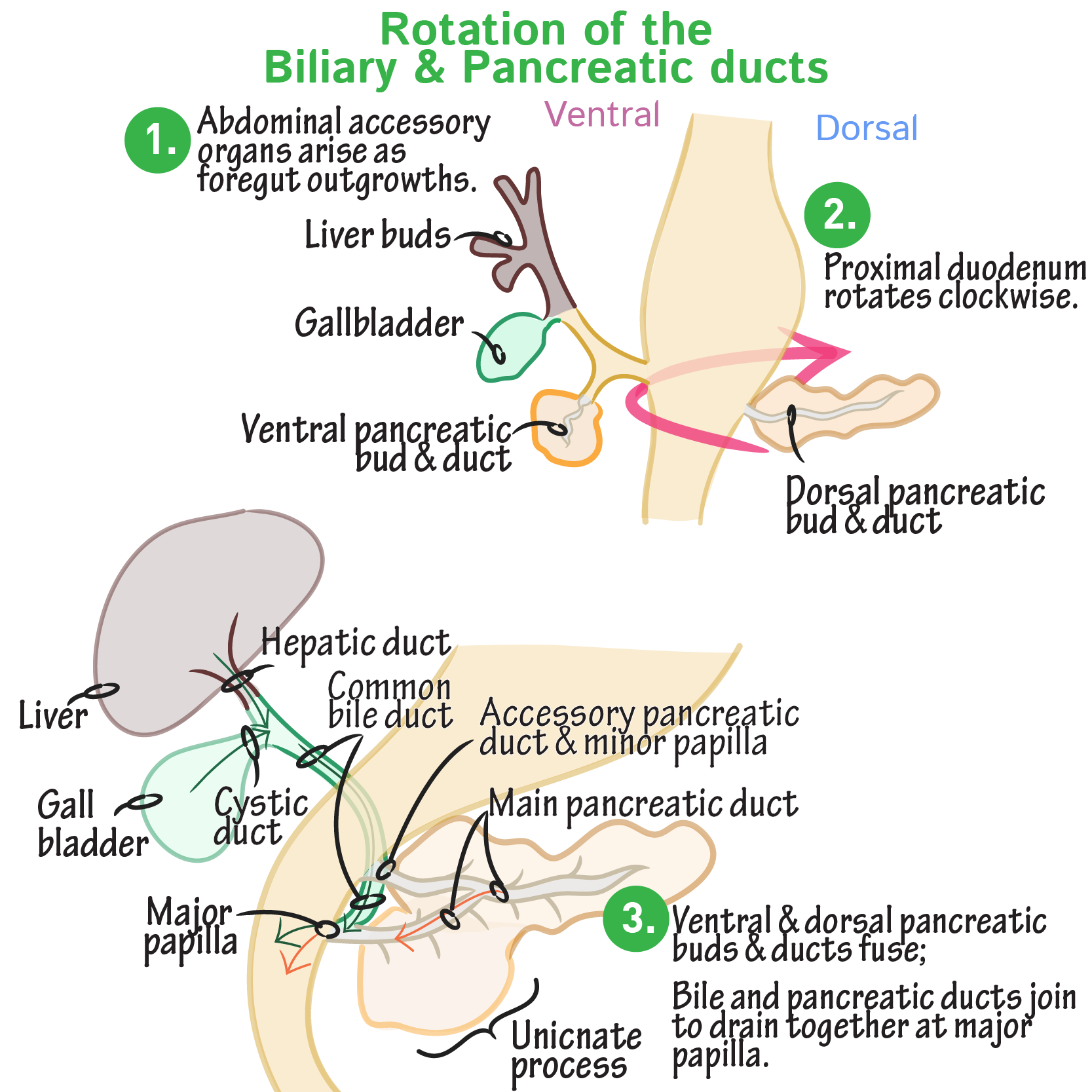 Embryology Glossary Rotation Of The Pancreatic Biliary Ducts