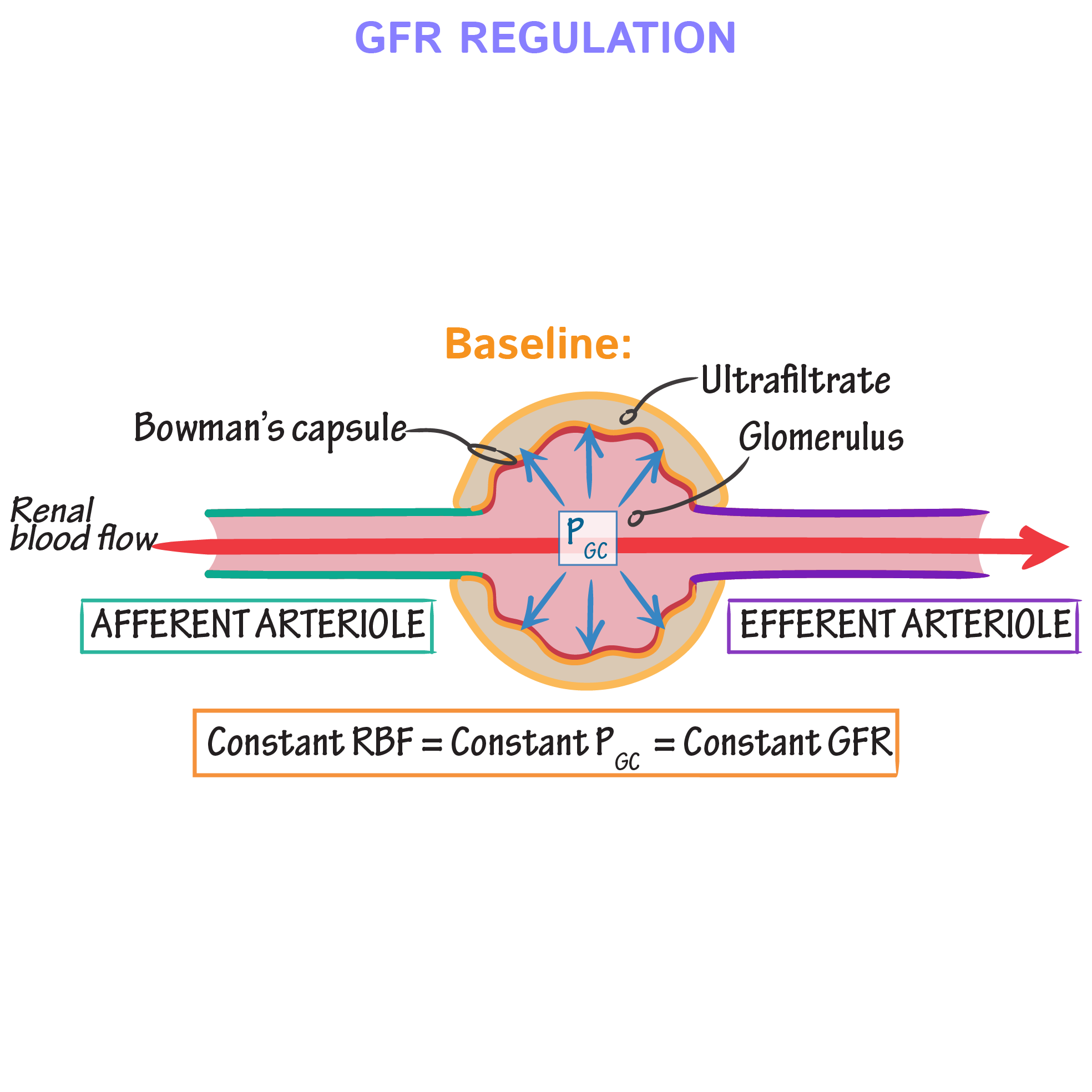 Physiology Glossary Gfr Regulation Draw It To Know It