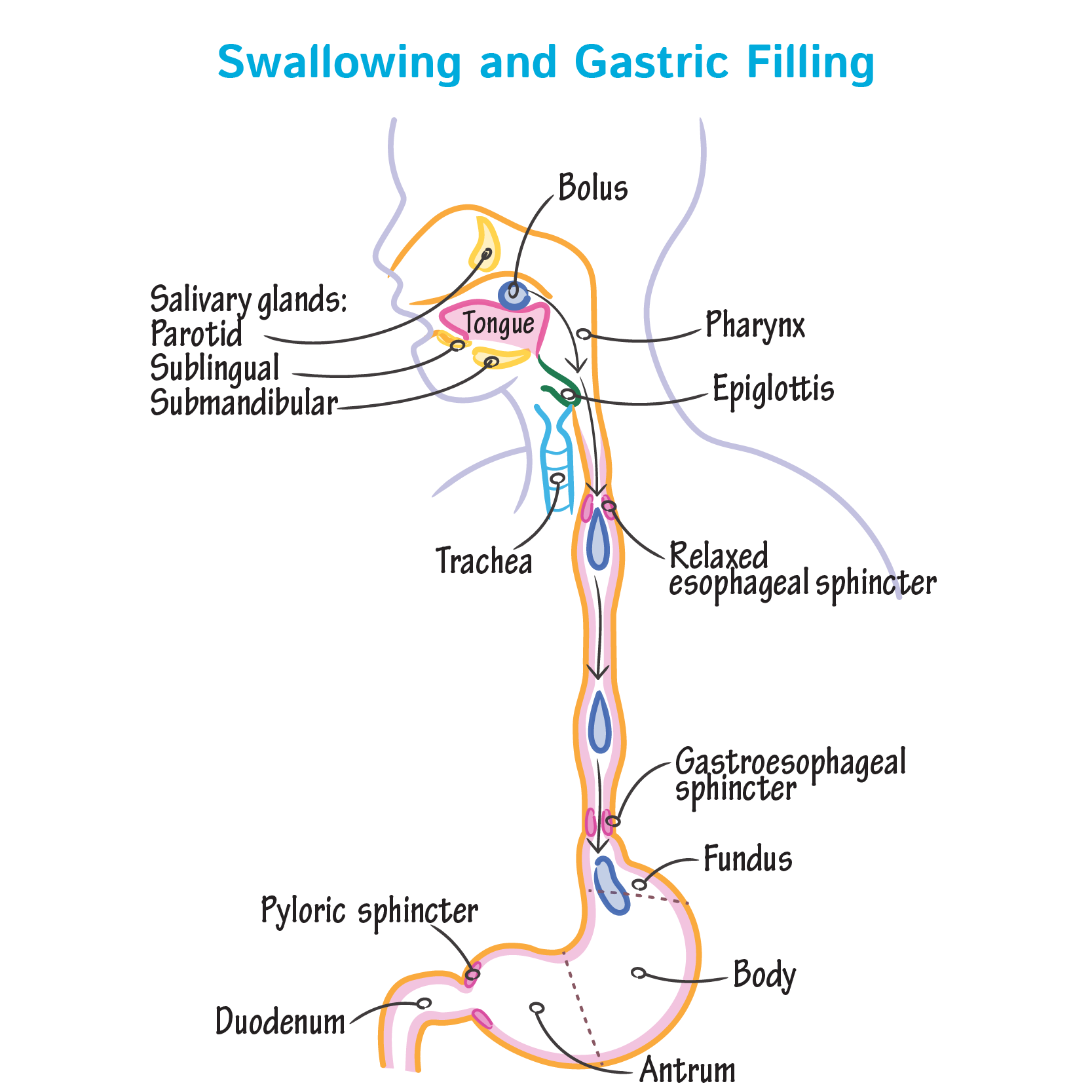 Physiology Glossary: Swallowing & Gastric Filling | Draw It to Know It
