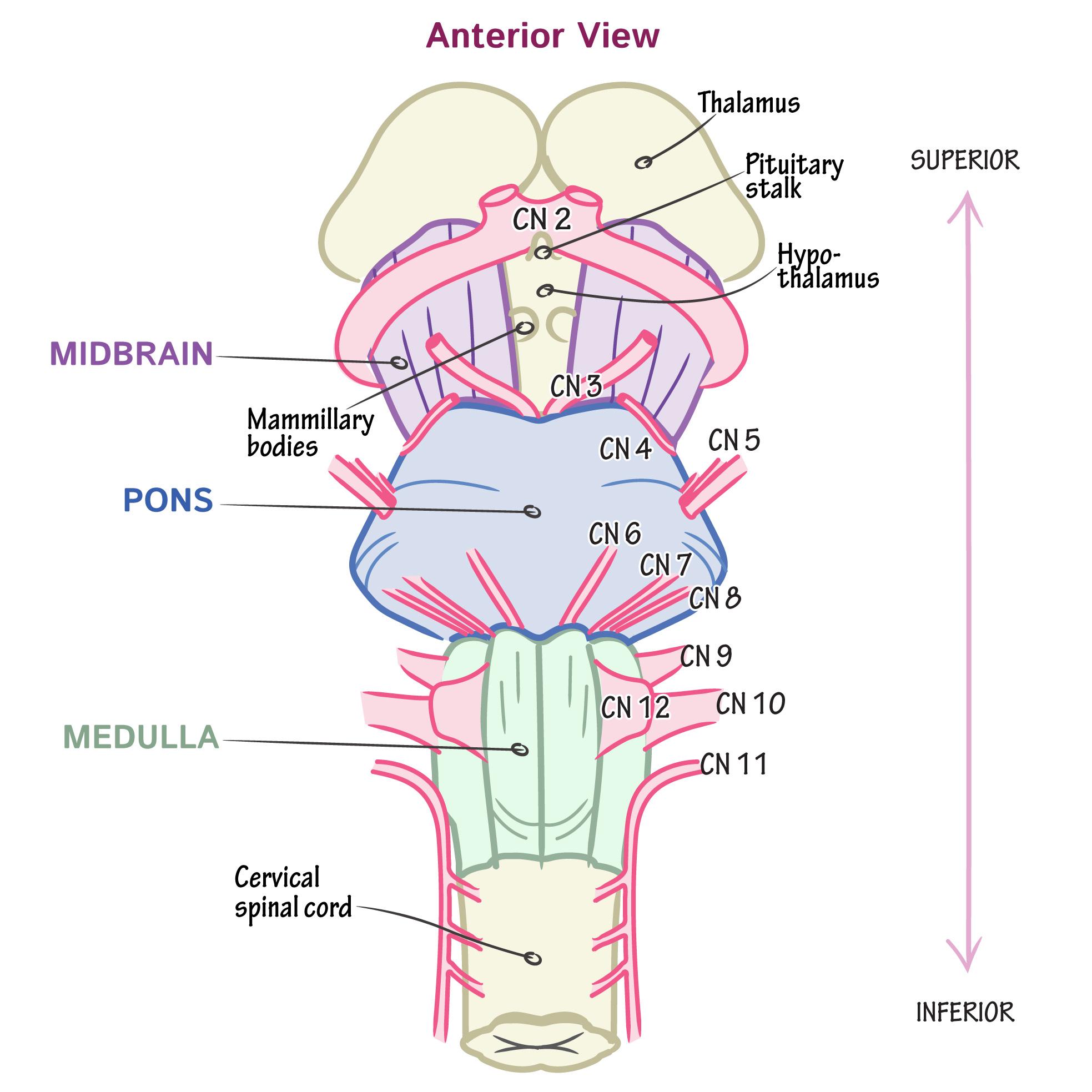 Neuroanatomy Glossary Cranial Nerves Draw It To Know It