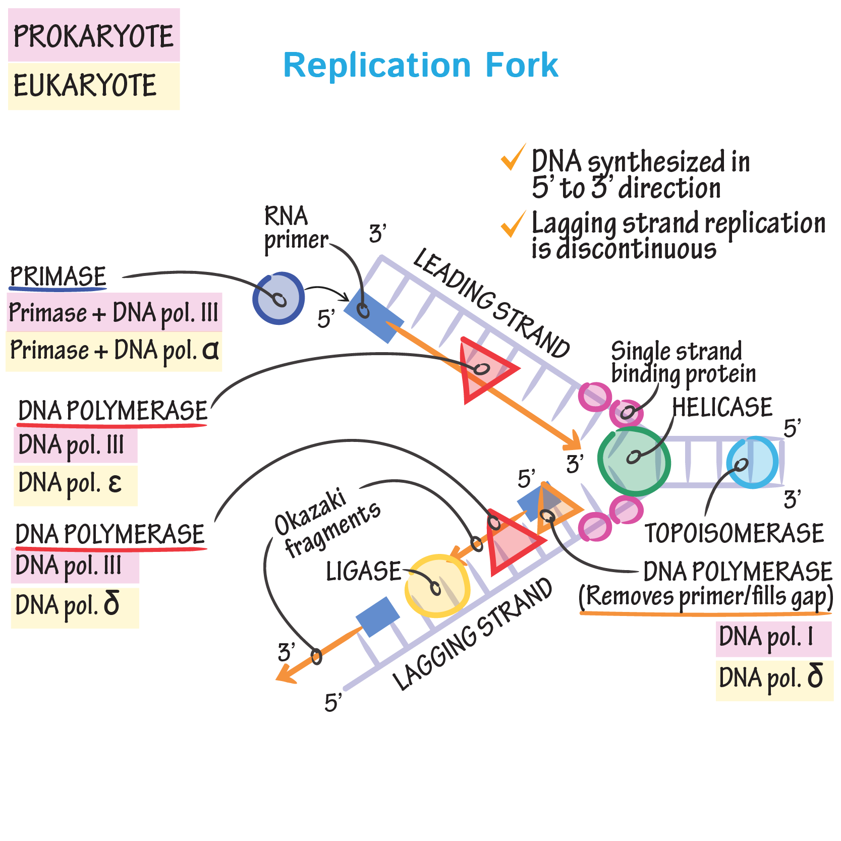 Diagram Dna Replication Fork Labeled