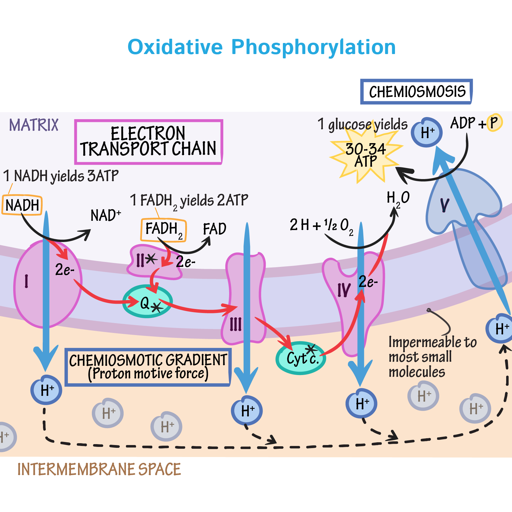 Image result for electron transport chain with in oxidative phosphorylation