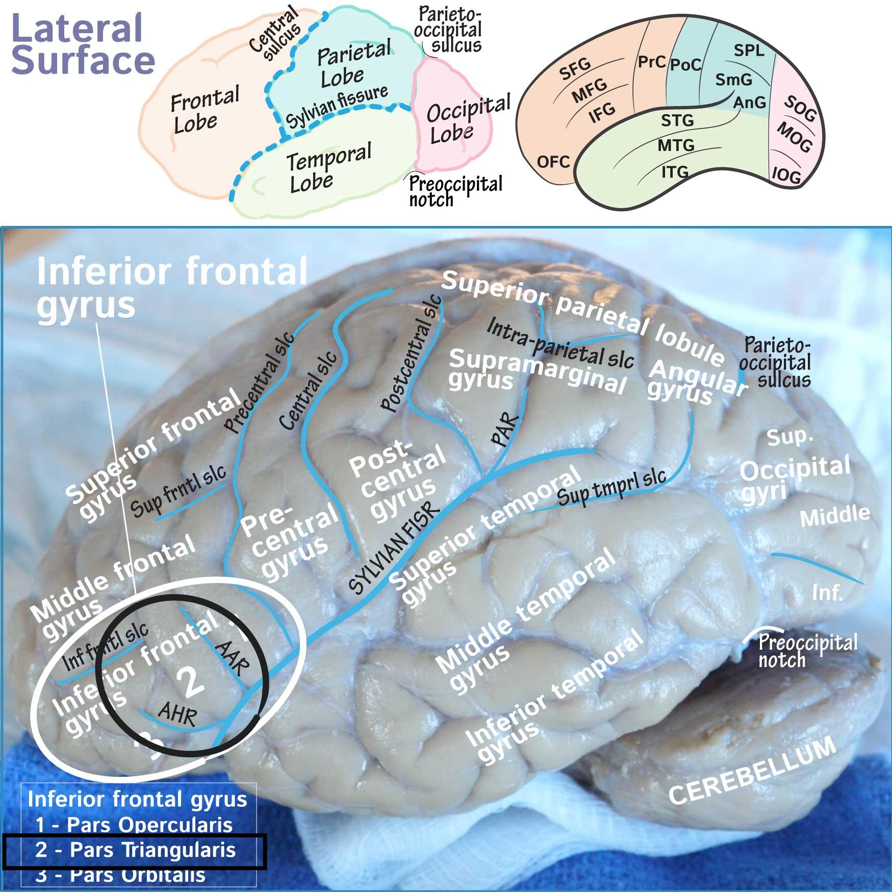 Neuroanatomy Glossary Inferior Frontal Gyrus Triangular Part