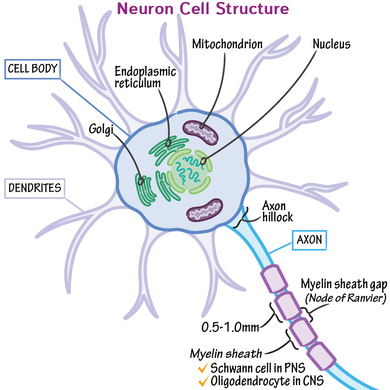 Gross Anatomy Glossary Neuron Cell Structure Draw It To Know It