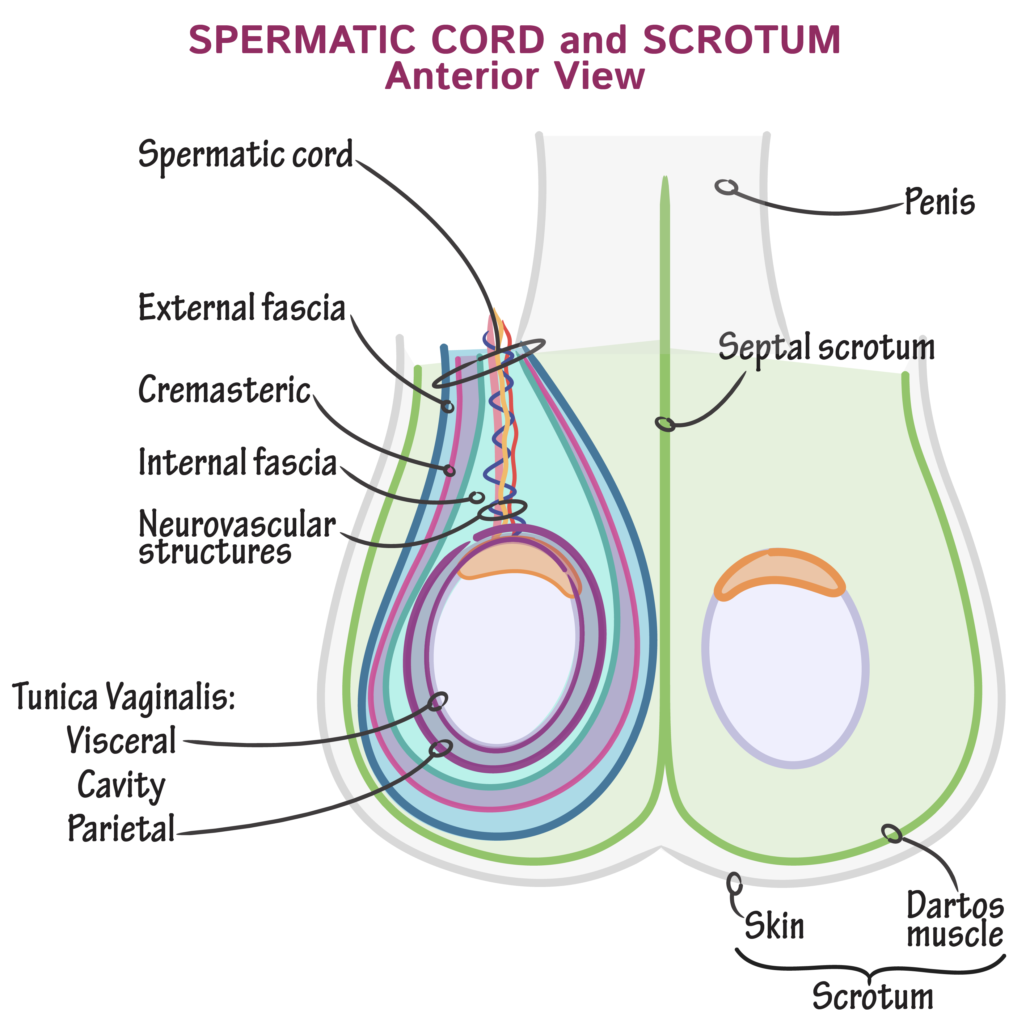 Gross Anatomy Glossary Spermatic Cord And Scrotum Draw It To Know It