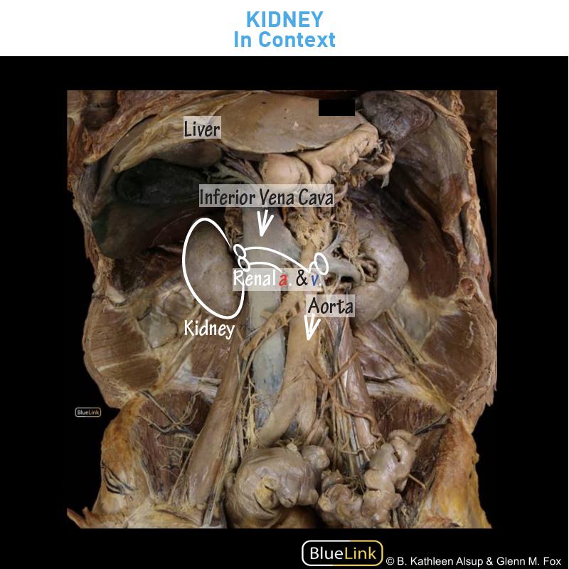 Gross Anatomy Glossary Kidney Photos Draw It To Know It