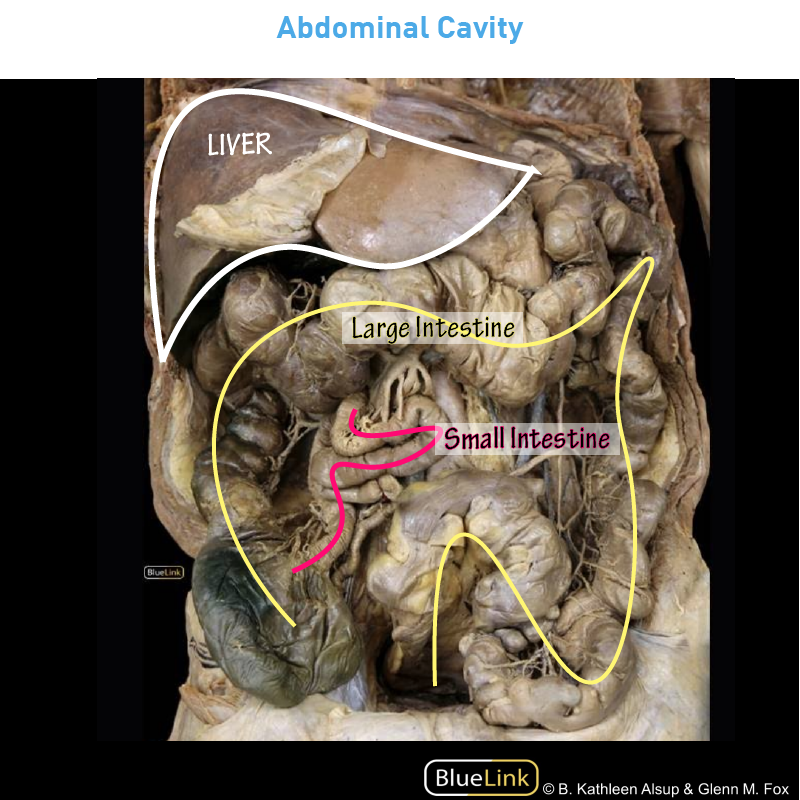 Gross Anatomy Glossary Small Large Intestine Photos Draw It