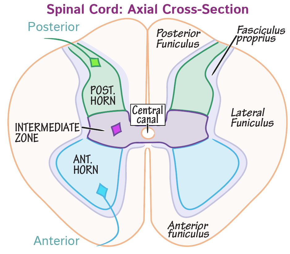 Neuroanatomy Glossary: Spinal cord | Draw It to Know It