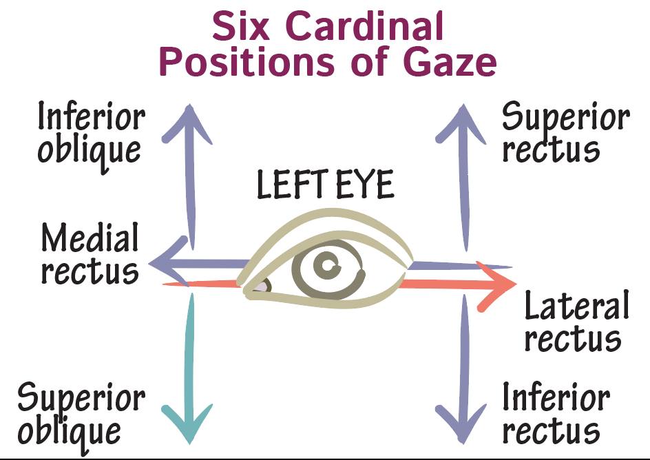 Neuroanatomy Glossary: Cardinal Positions of Gaze | Draw It to Know It
