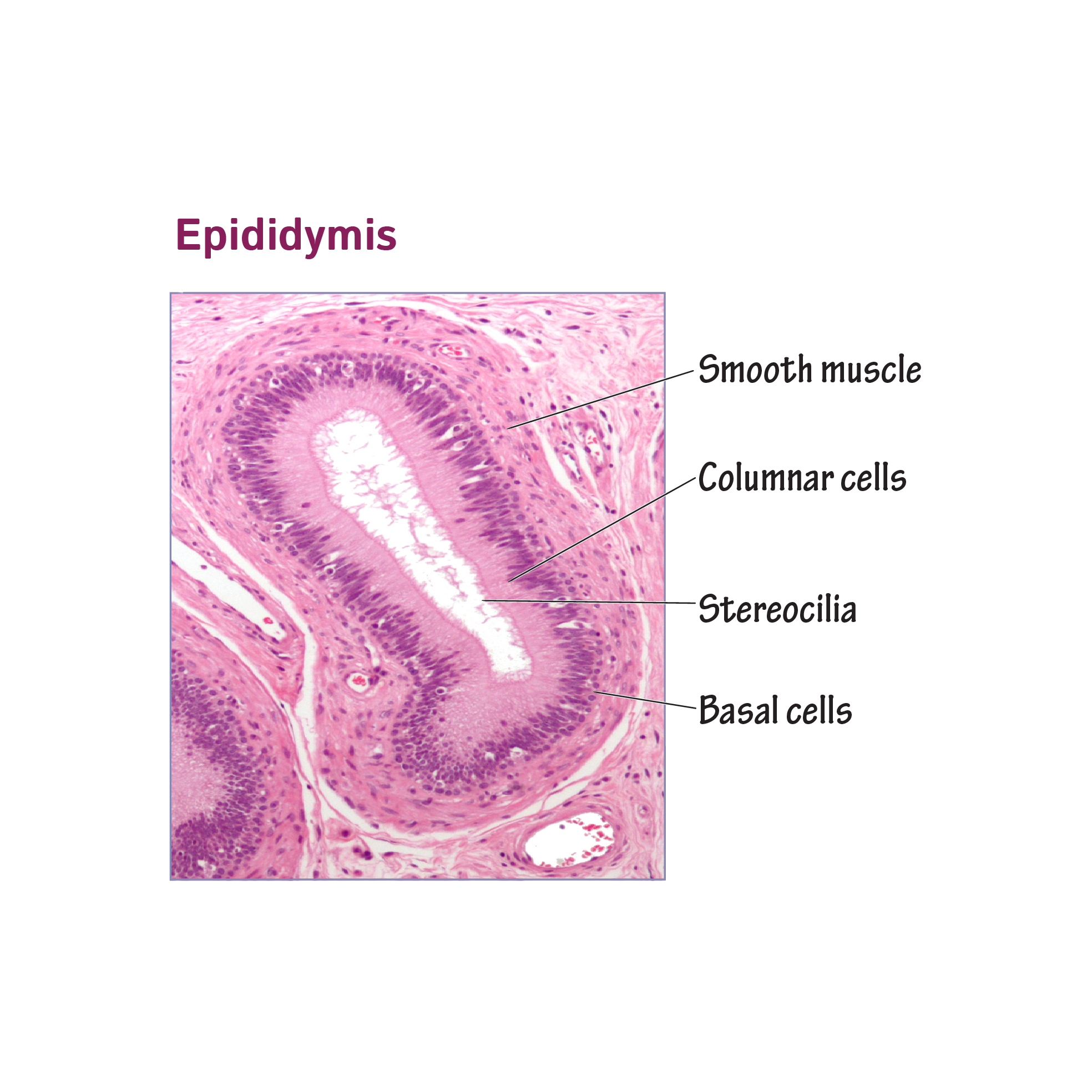 Histology Glossary Histology Epididymis Draw It To Know It