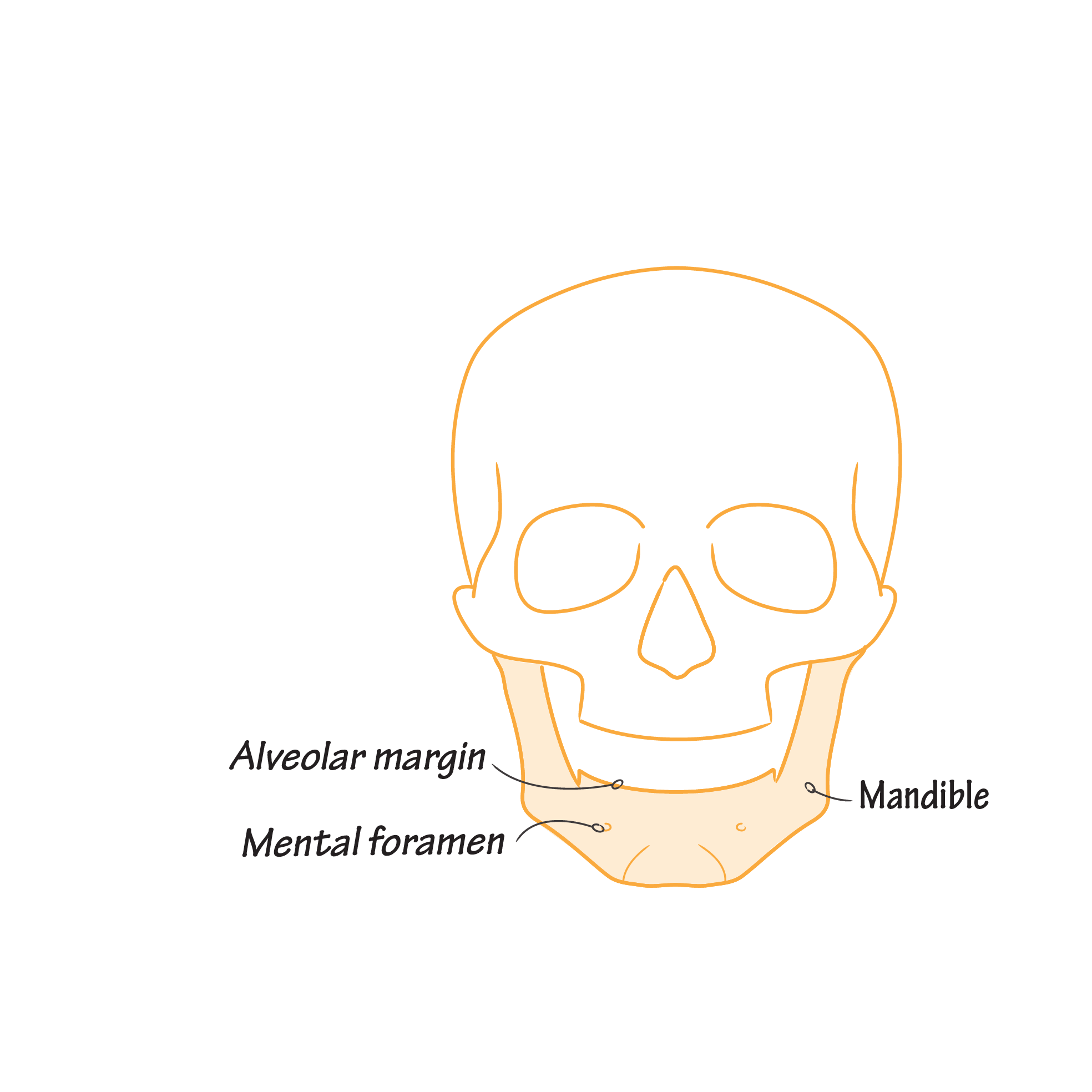 Gross Anatomy Glossary: Skull - Anterior View | Draw It to Know It