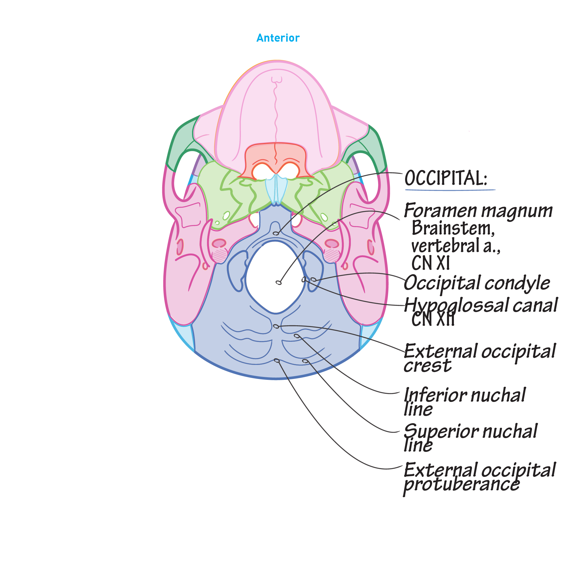 Gross Anatomy Glossary: Skull - Inferior View | Draw It to Know It