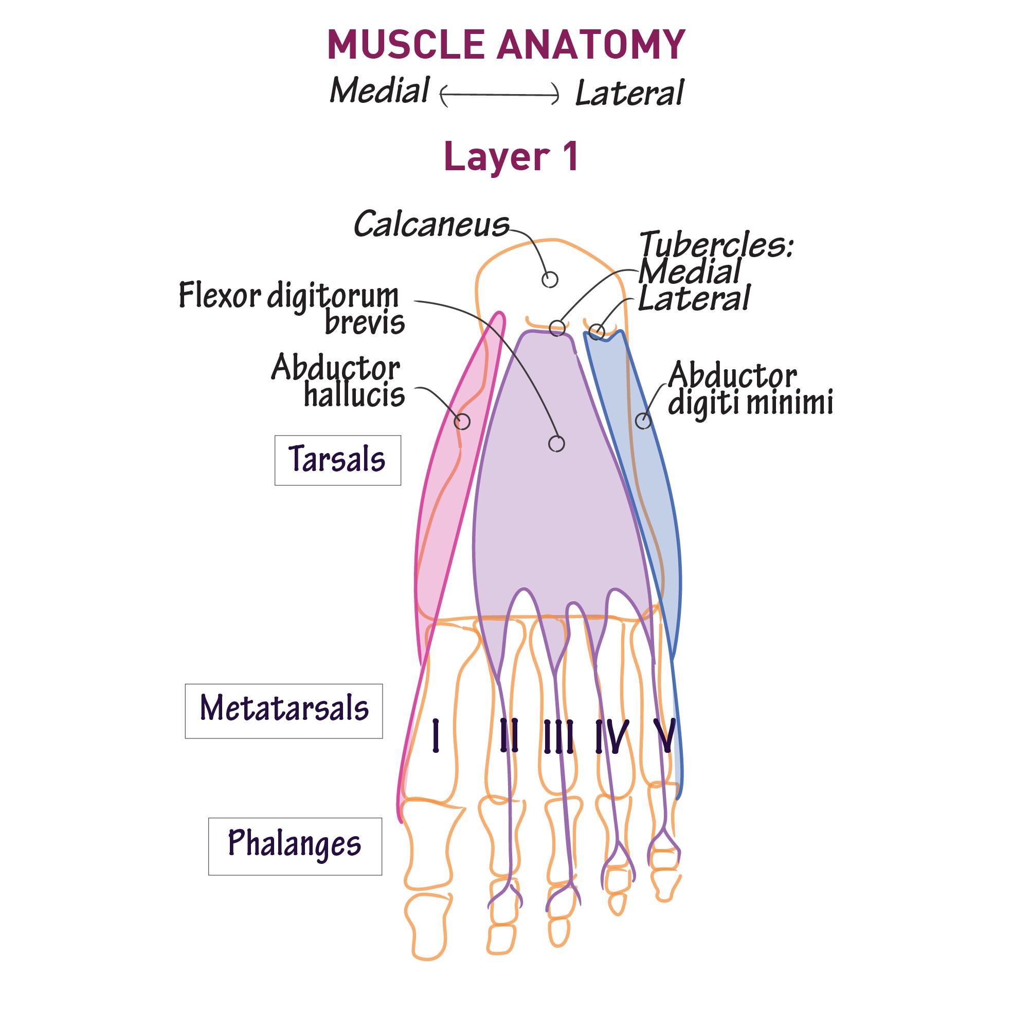Gross Anatomy Glossary Foot Intrinsic Plantar Draw It To Know It