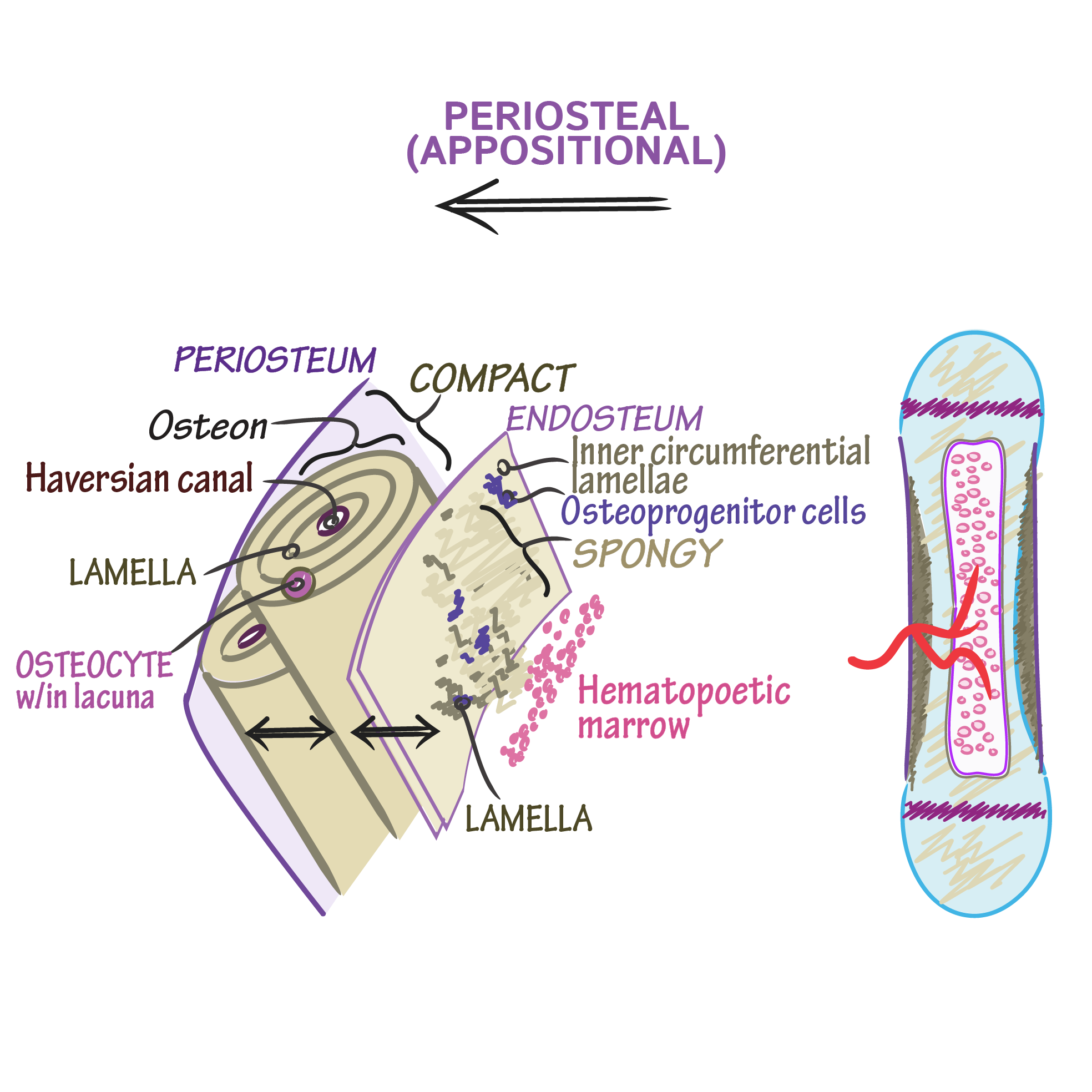 Histology Glossary Bone Growth Periosteal Appositional Draw It