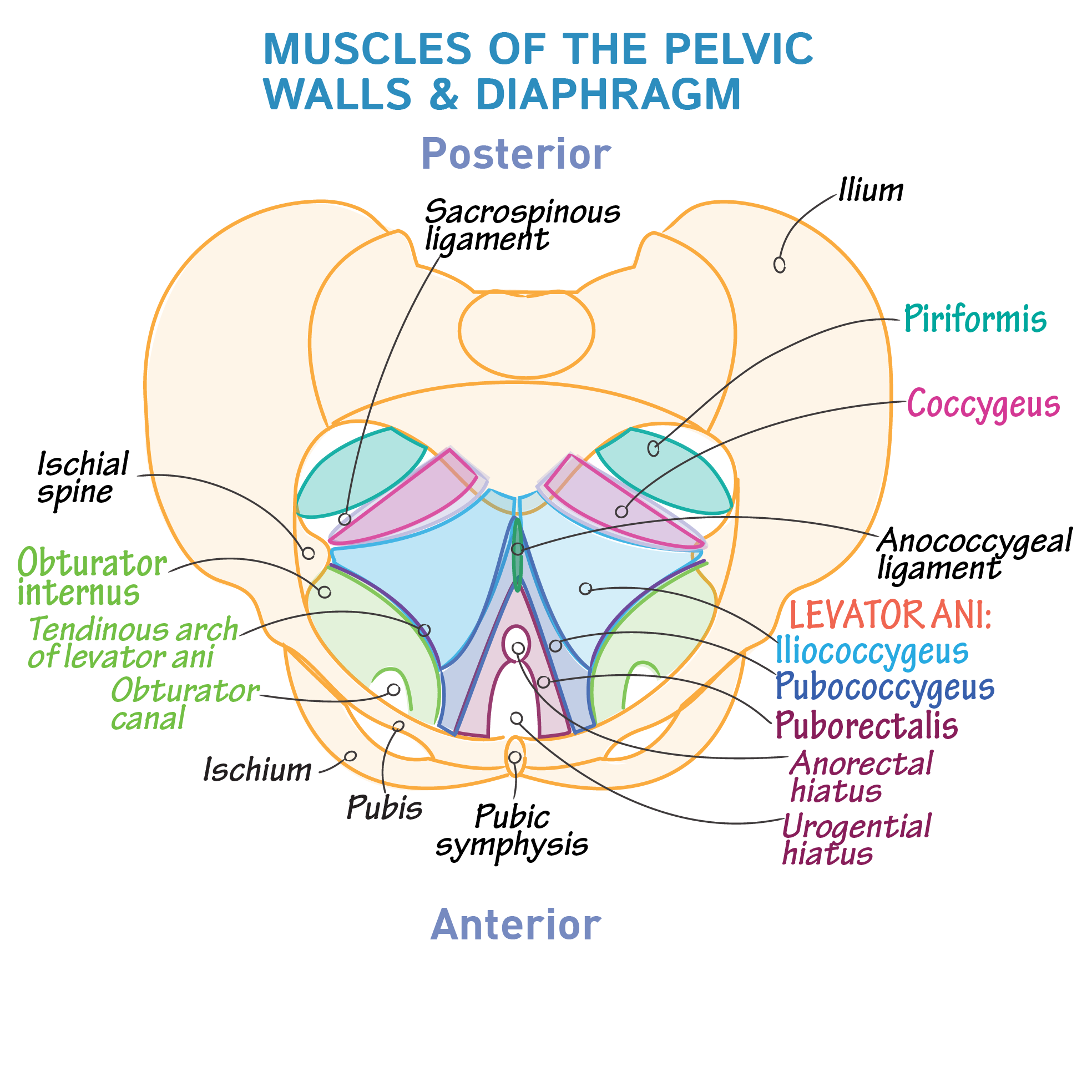 Gross Anatomy Glossary: Pelvic Walls & Diaphragm | Draw It to Know It