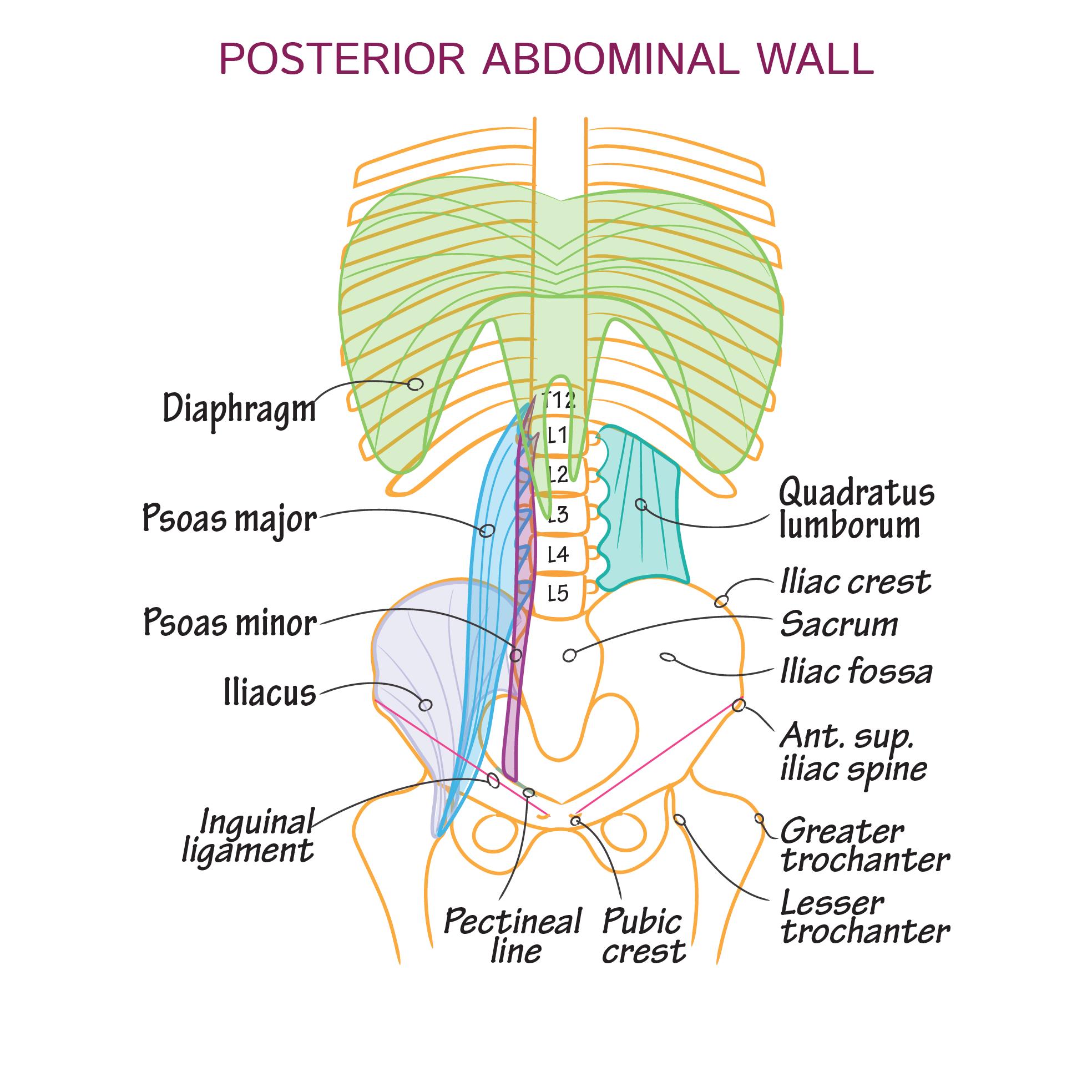 Gross Anatomy Glossary Posterior Abdominal Wall Draw It To Know It