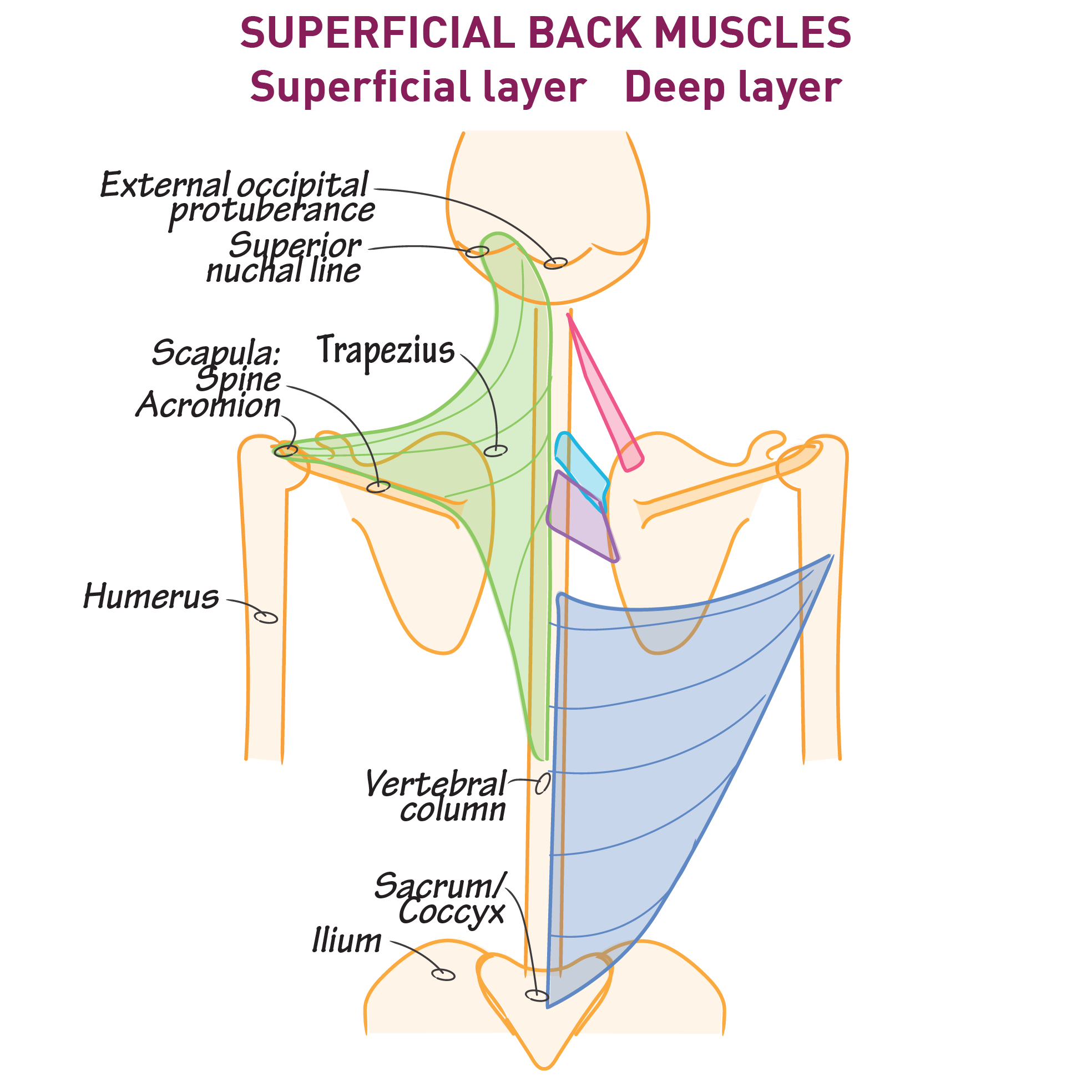 Gross Anatomy Glossary: Back - Superficial Layer   Draw It to Know It