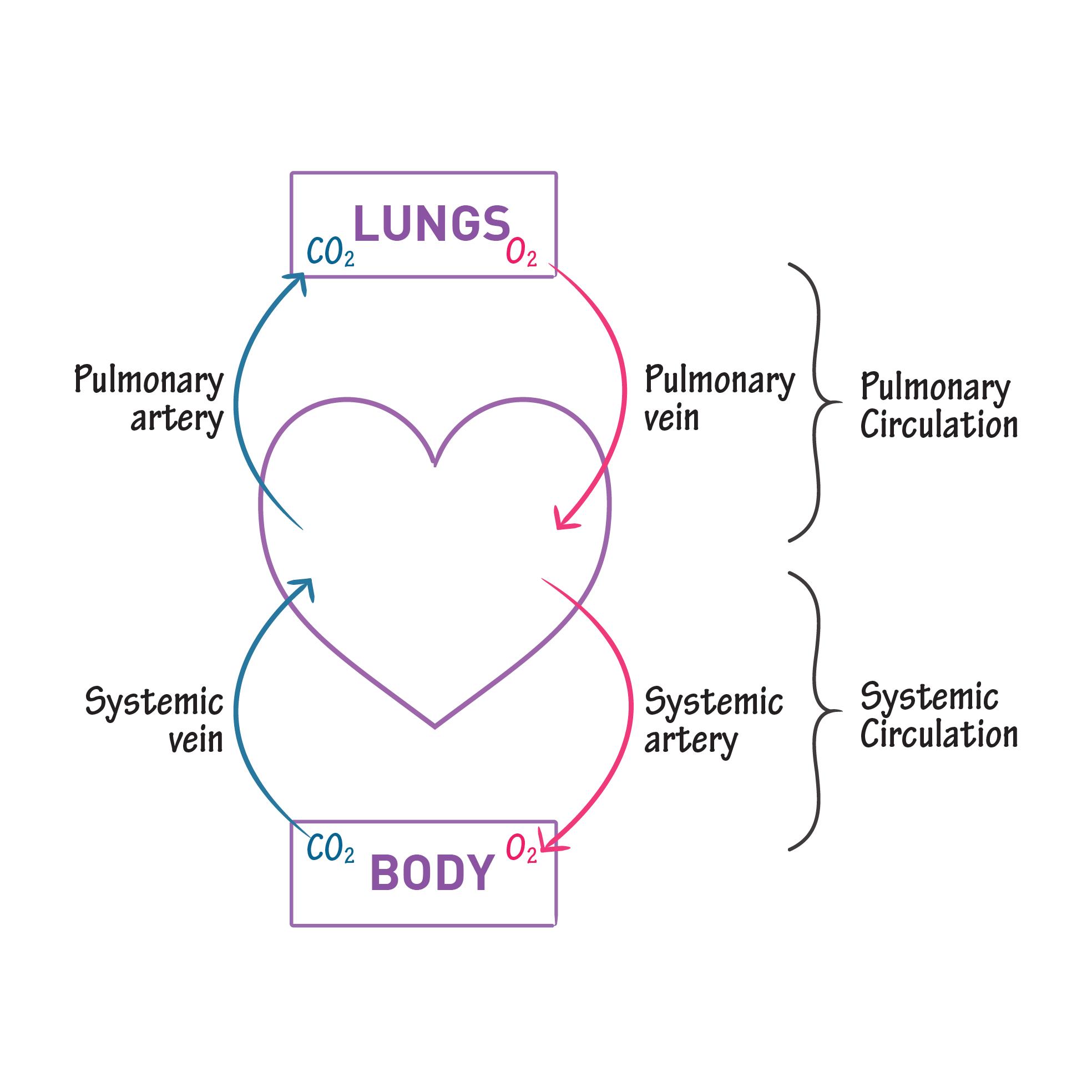 Gross Anatomy Glossary: Systemic vs. Pulmonary Circulation | Draw It ...