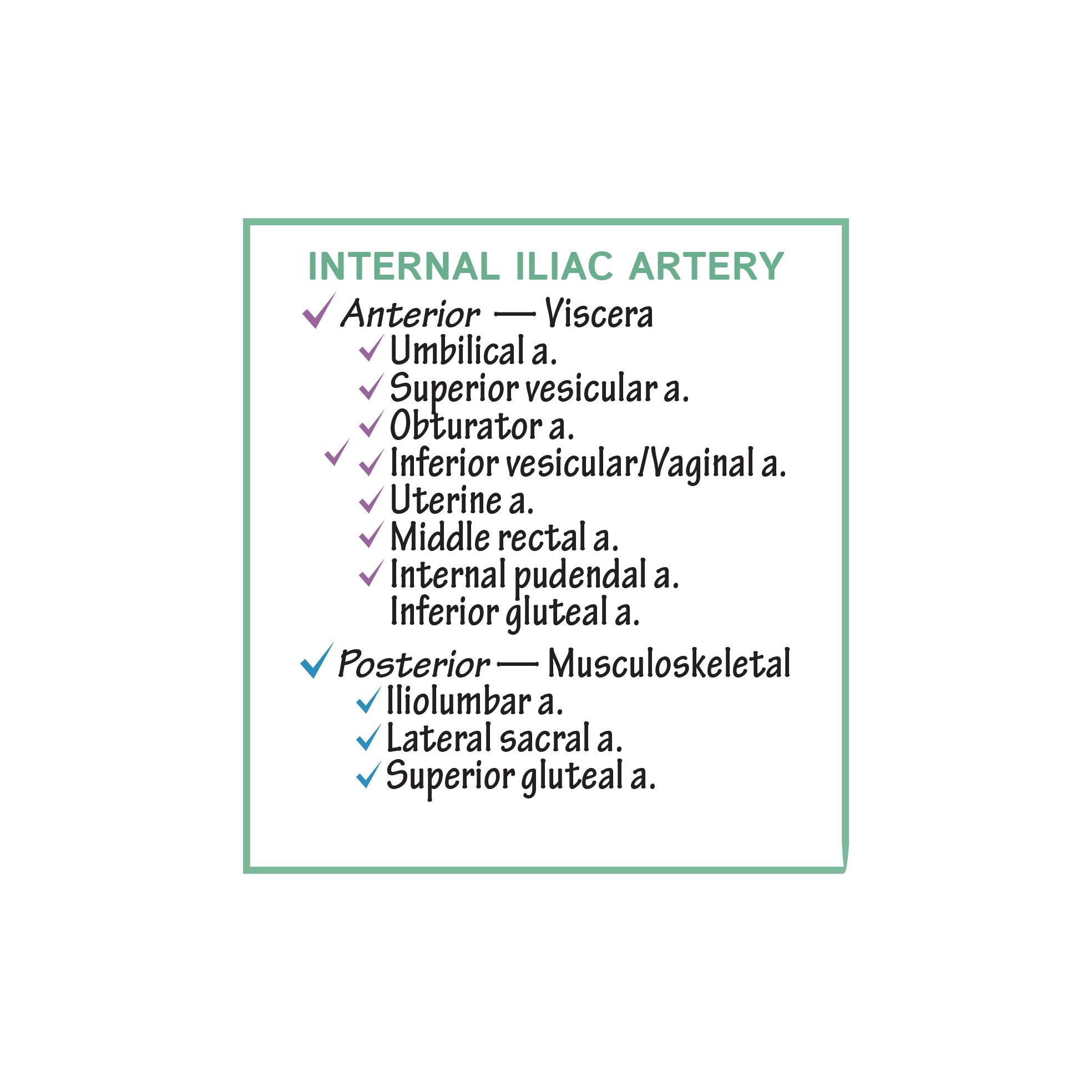 Gross Anatomy Glossary: Arteries - Internal Iliac & Branches | Draw ...