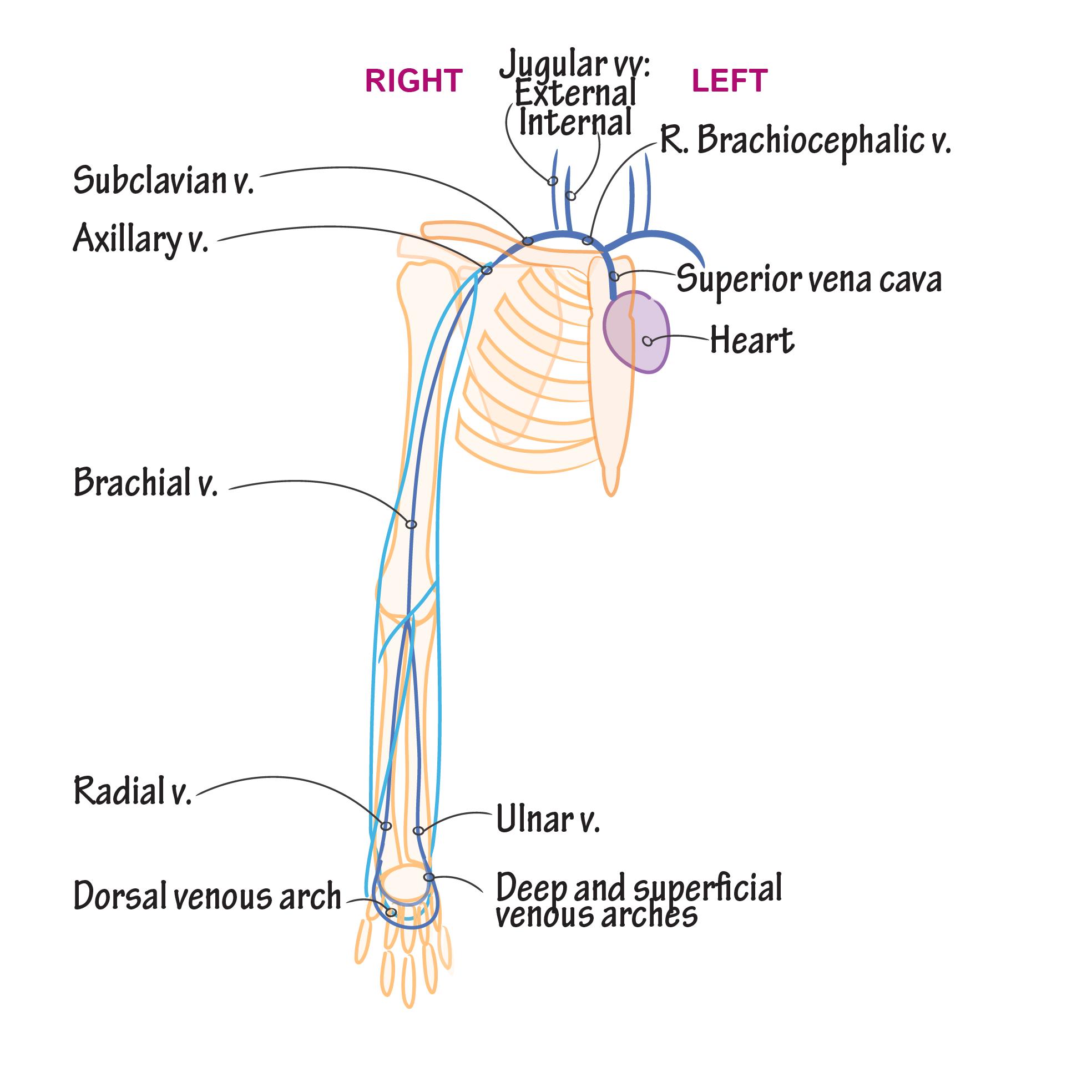 Gross Anatomy Glossary Veins Upper Extremity Draw It To Know It