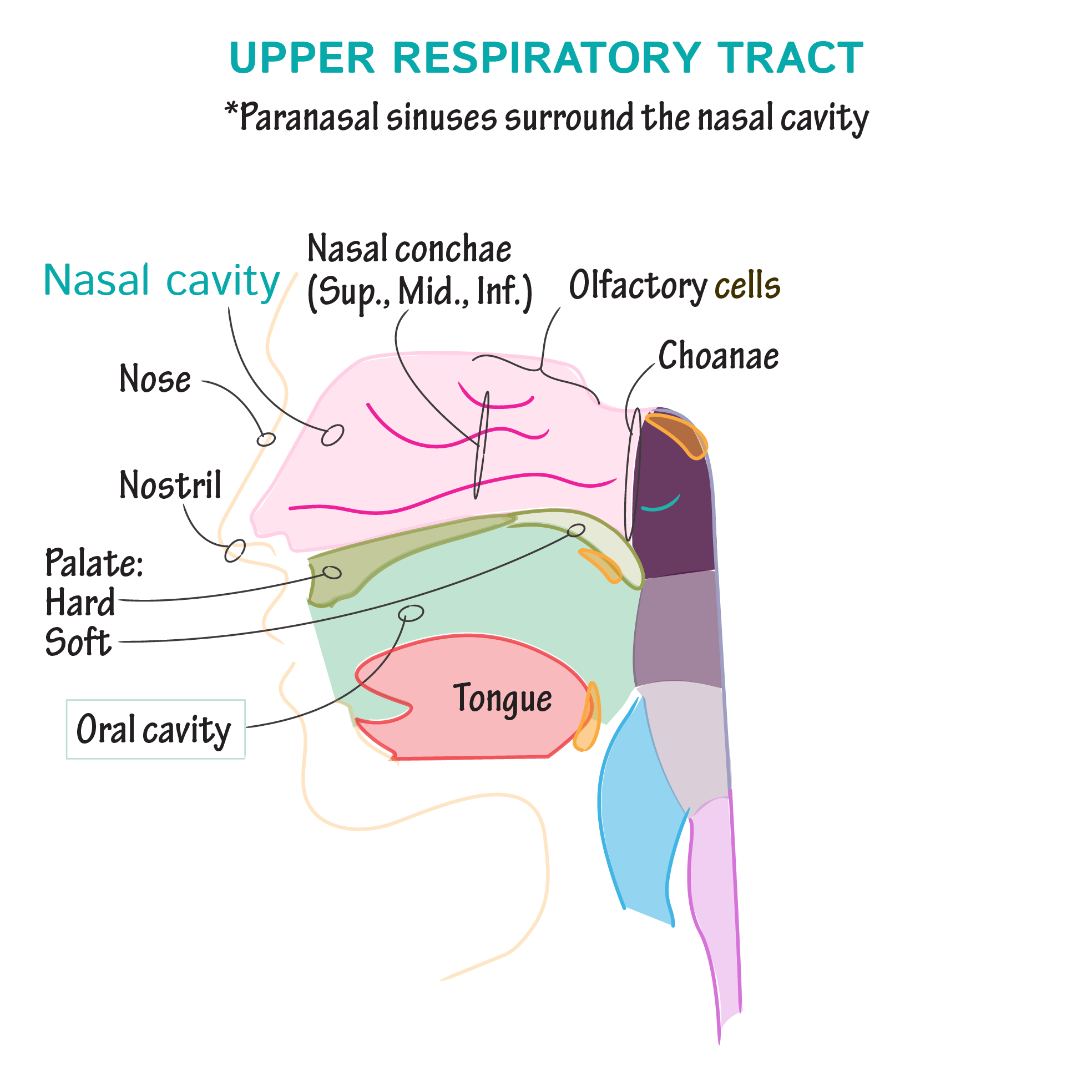 Gross Anatomy Glossary Upper Respiratory Tract Draw It To Know It
