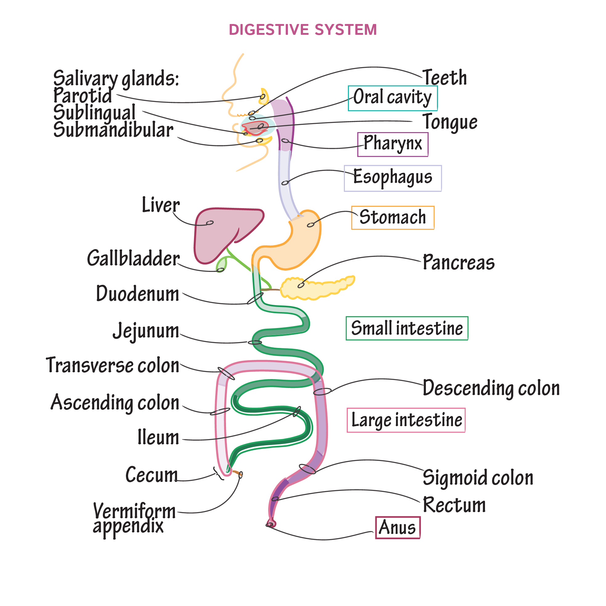 Gross Anatomy Glossary: Digestive System Overview | Draw It to Know It