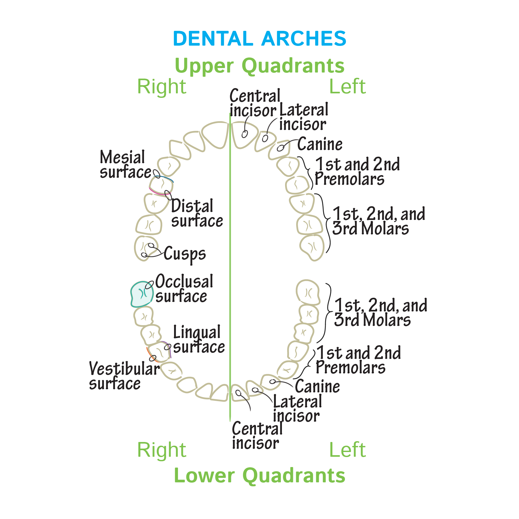 Gross Anatomy Glossary: Dental Arches | Draw It to Know It