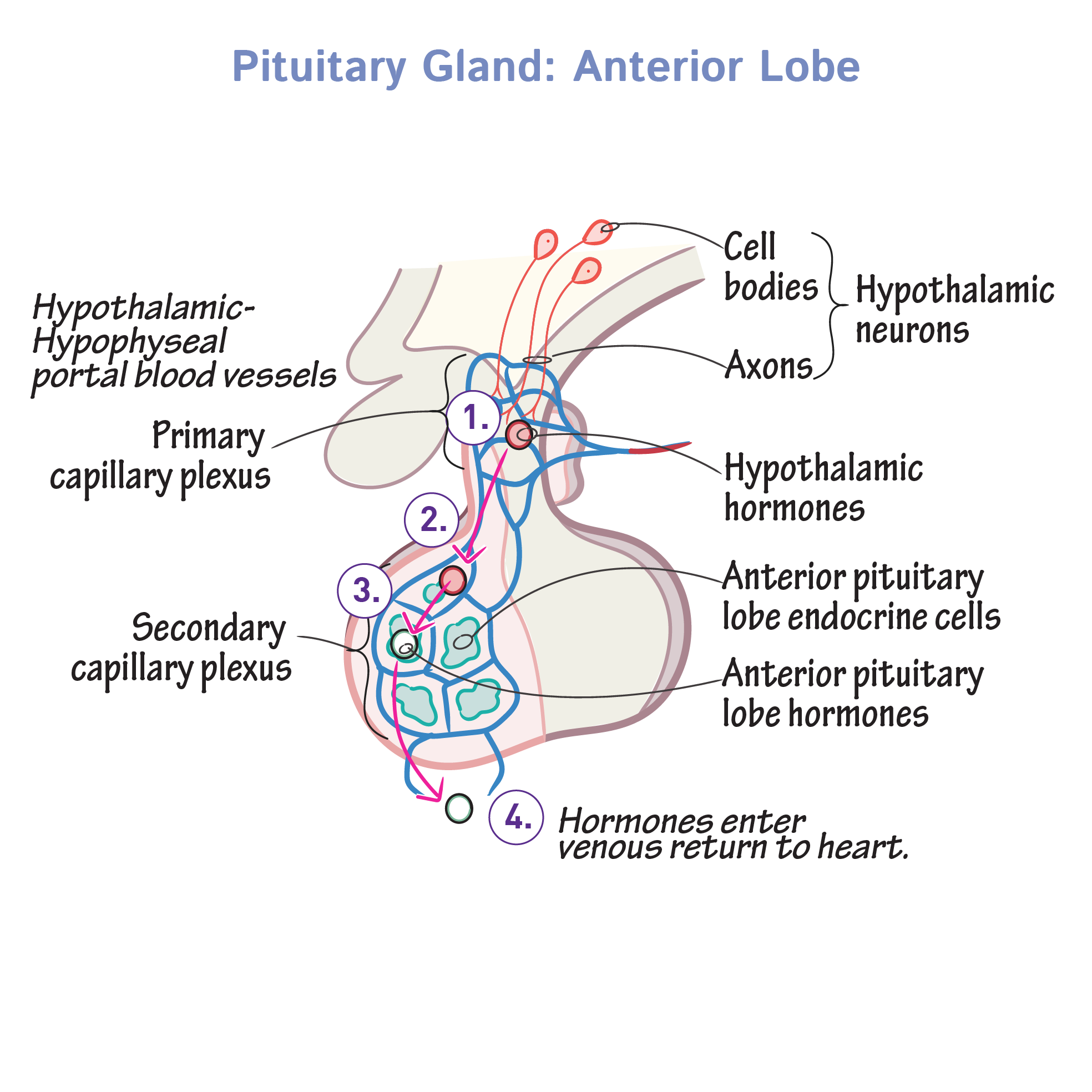 Physiology Glossary Pituitary Gland Anterior Lobe Draw It To Know It