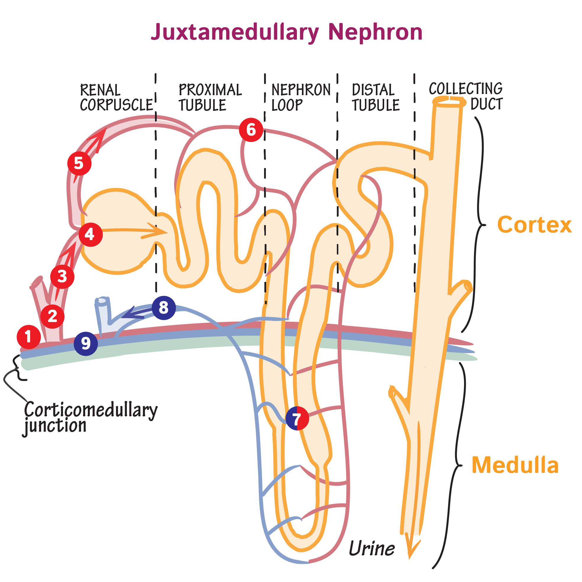 Gross Anatomy Glossary: Juxtamedullary Nephron Blood Supply | Draw ...