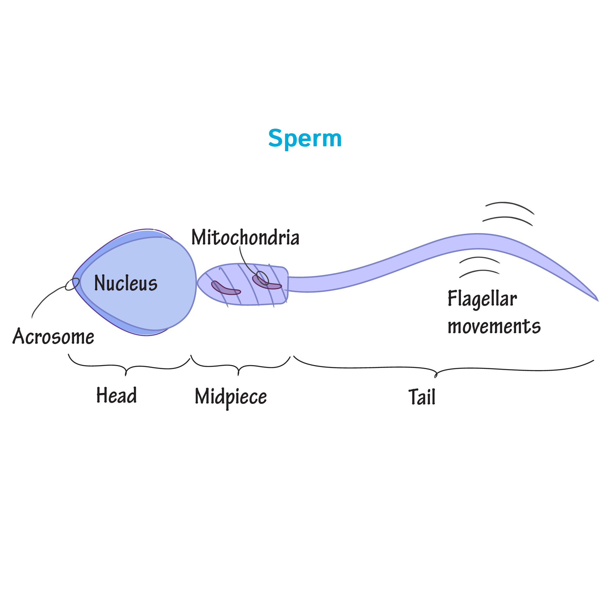 Physiology Glossary: Sperm Cell Anatomy | Draw It to Know It