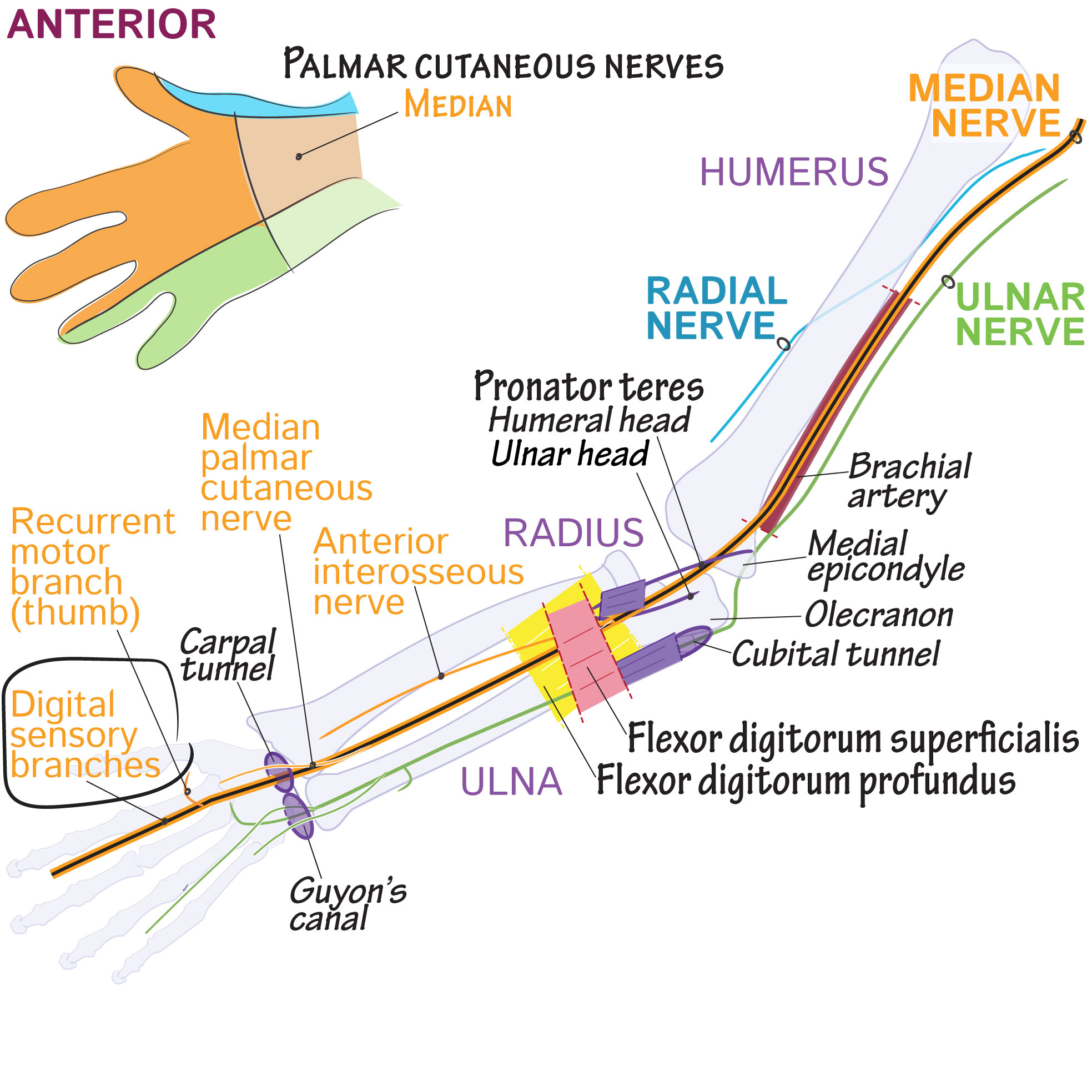 Gross Anatomy Glossary: Median nerve digital sensory branches | Draw ...
