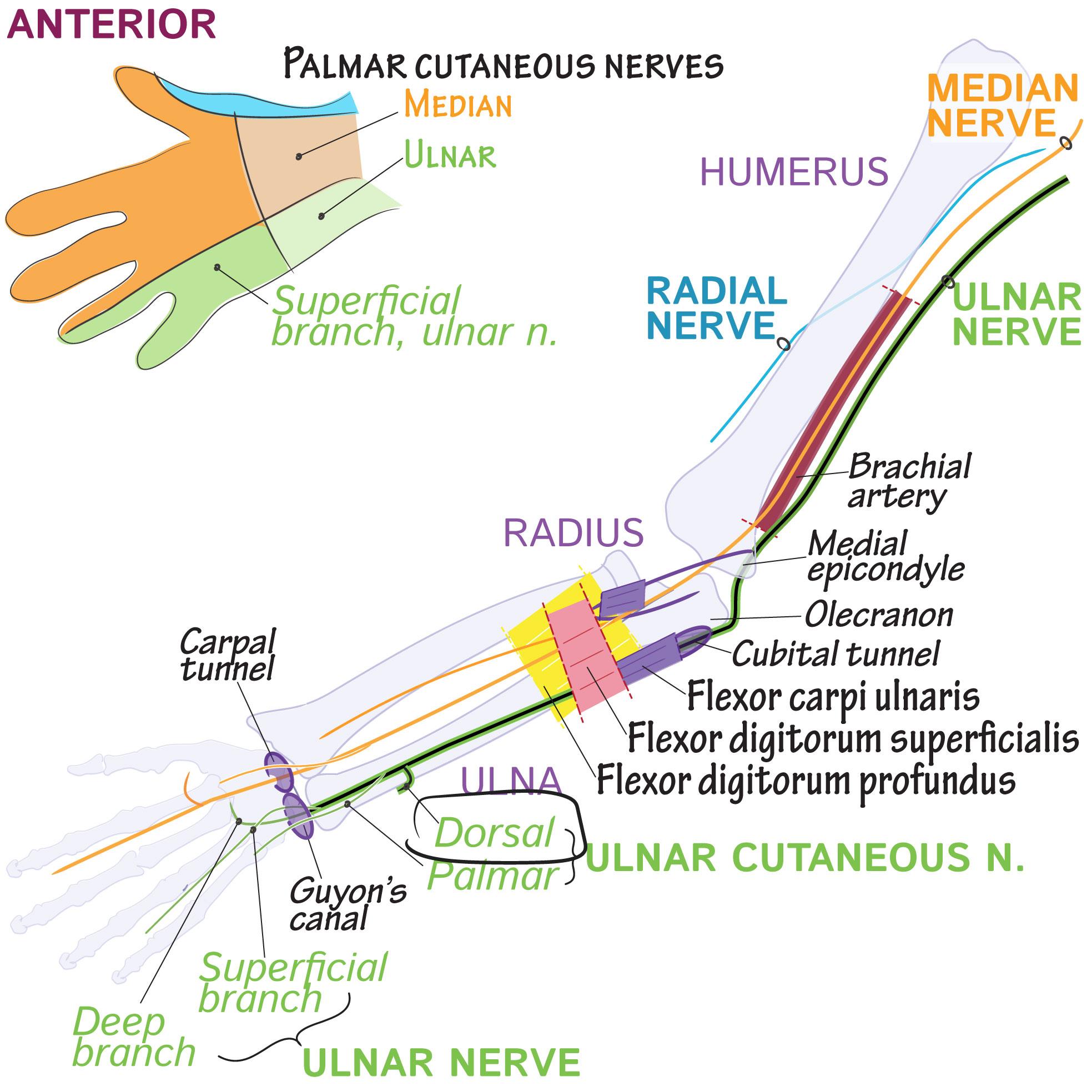 Gross Anatomy Glossary: Dorsal ulnar cutaneous nerve | Draw It to ...