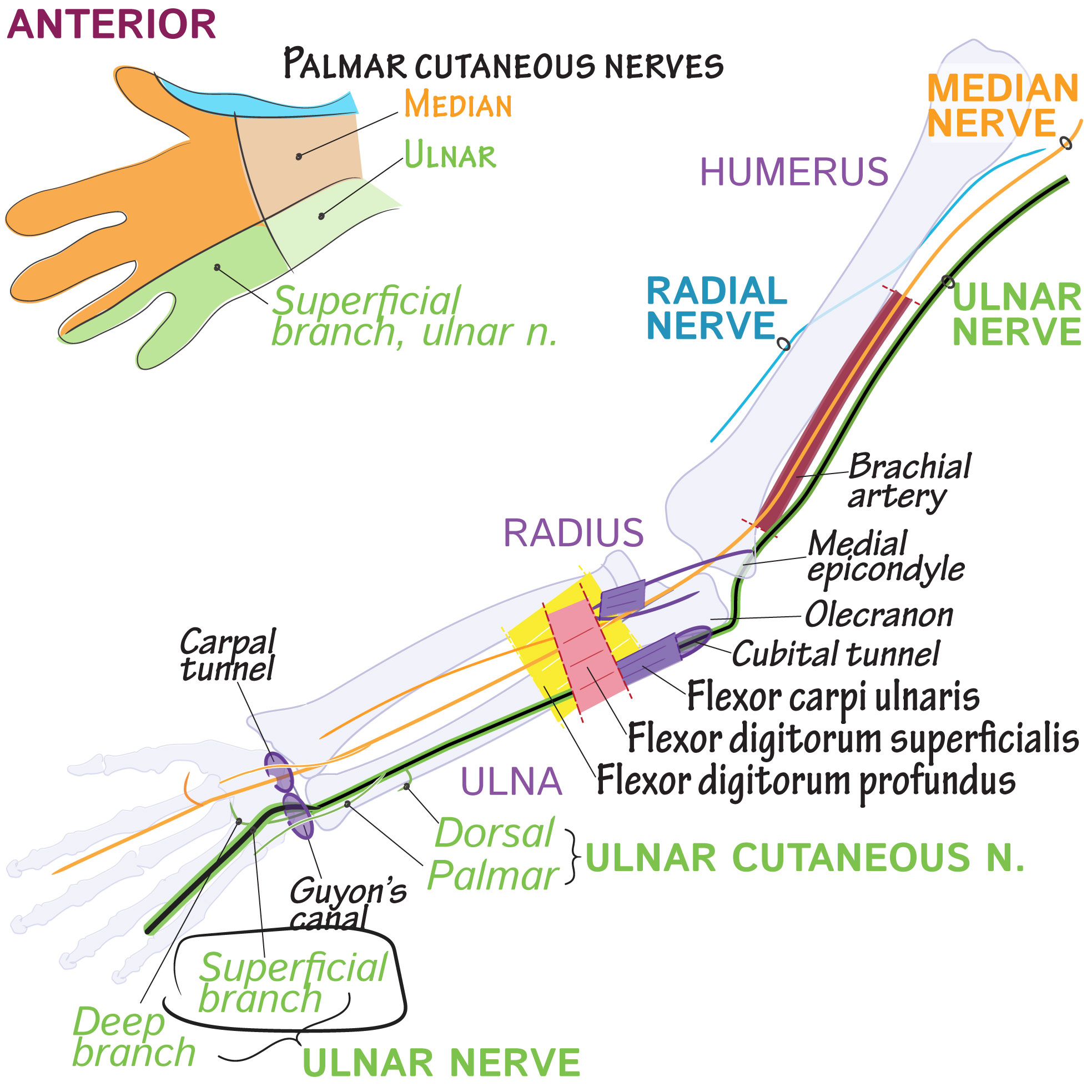 Gross Anatomy Glossary Superficial Branch Of Ulnar Nerve Draw