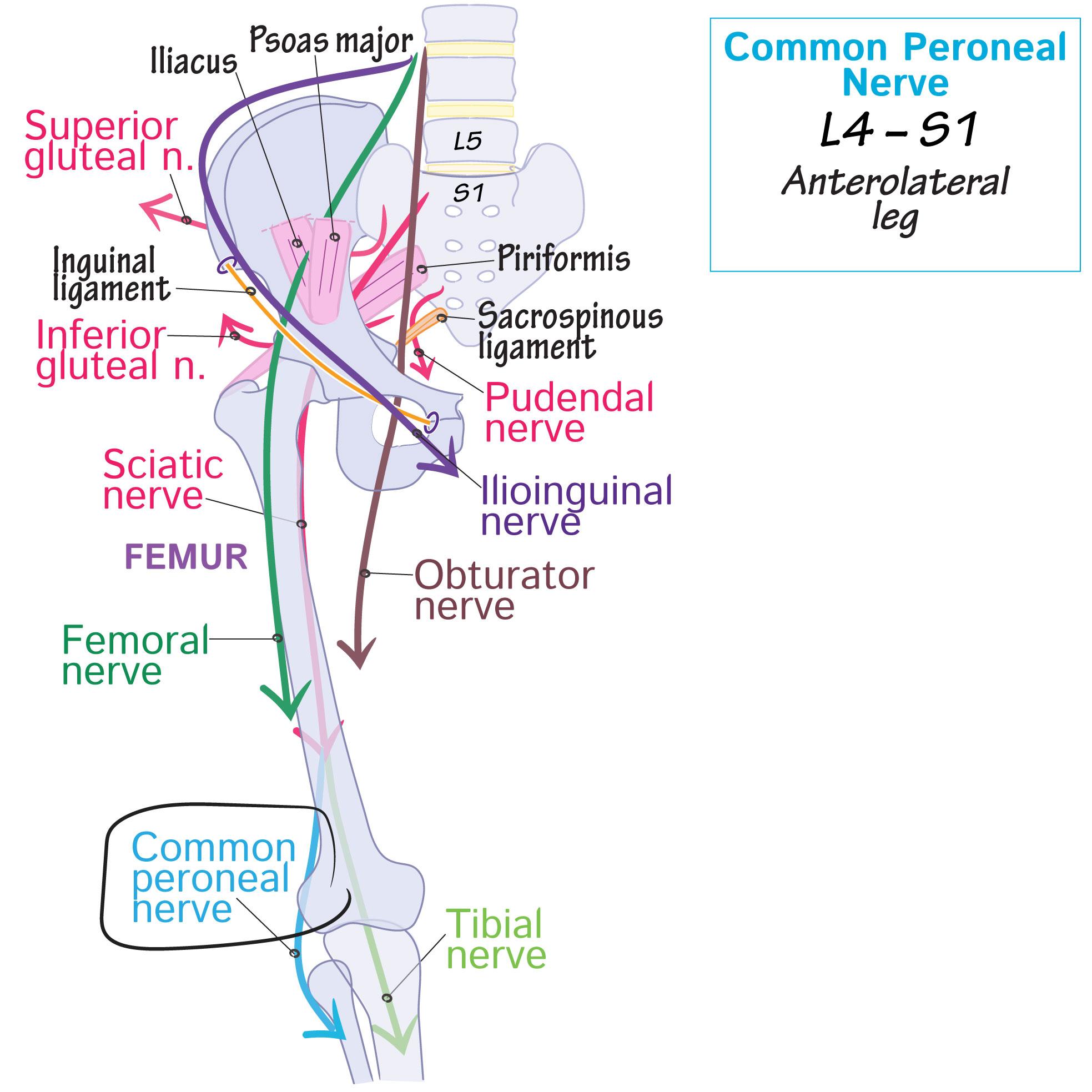 Gross Anatomy Glossary: Lower Limb - Peroneal Nerve (aka Fibular ...