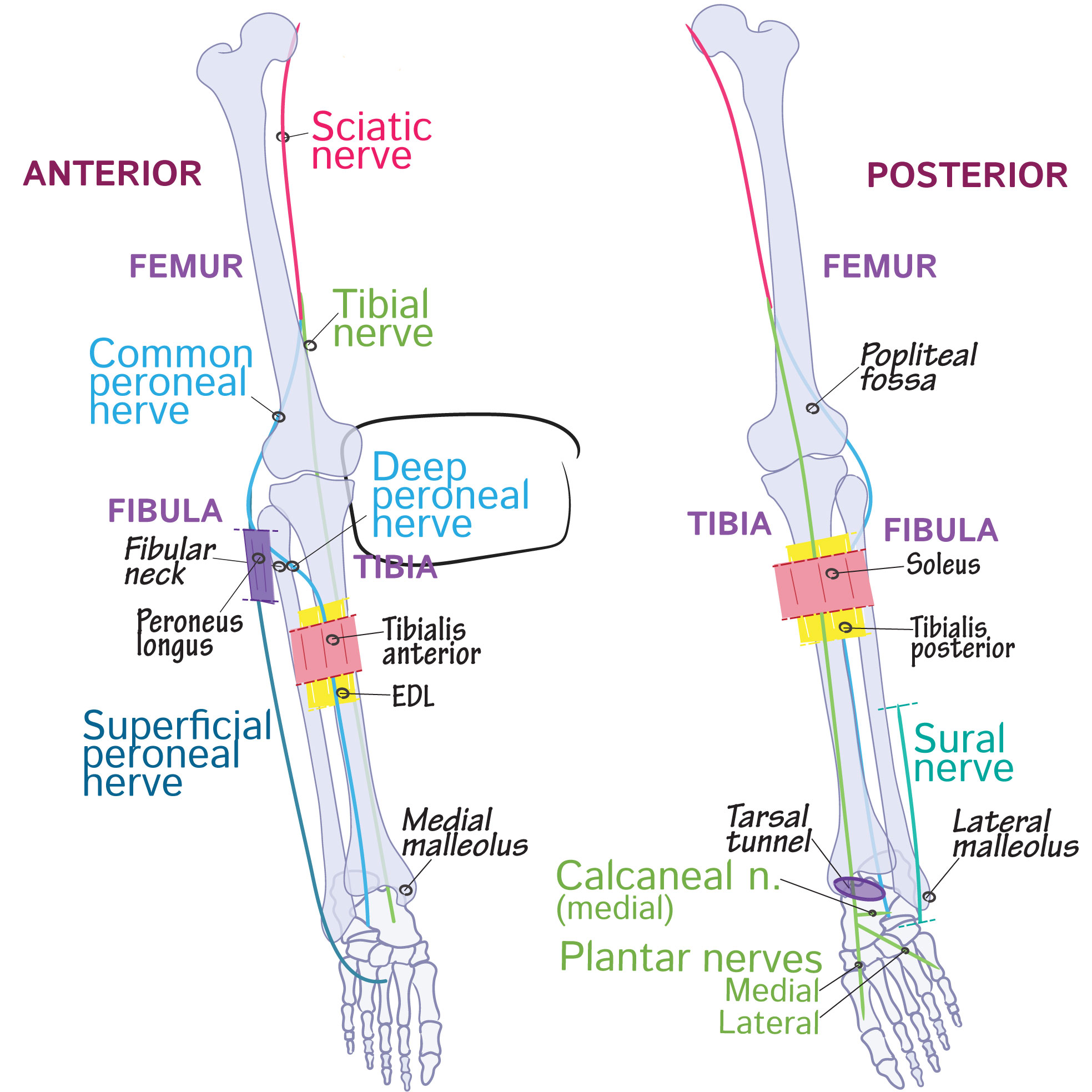 Gross Anatomy Glossary Deep Peroneal Nerve Draw It To Know It