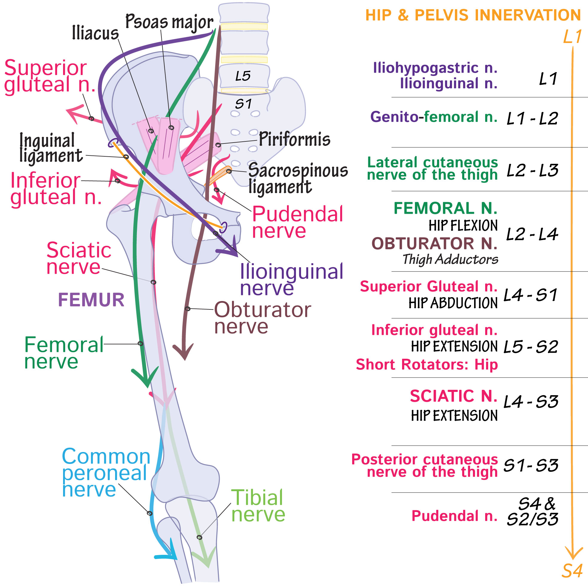 Gross Anatomy Glossary: Lumbosacral Plexus | Draw It to Know It