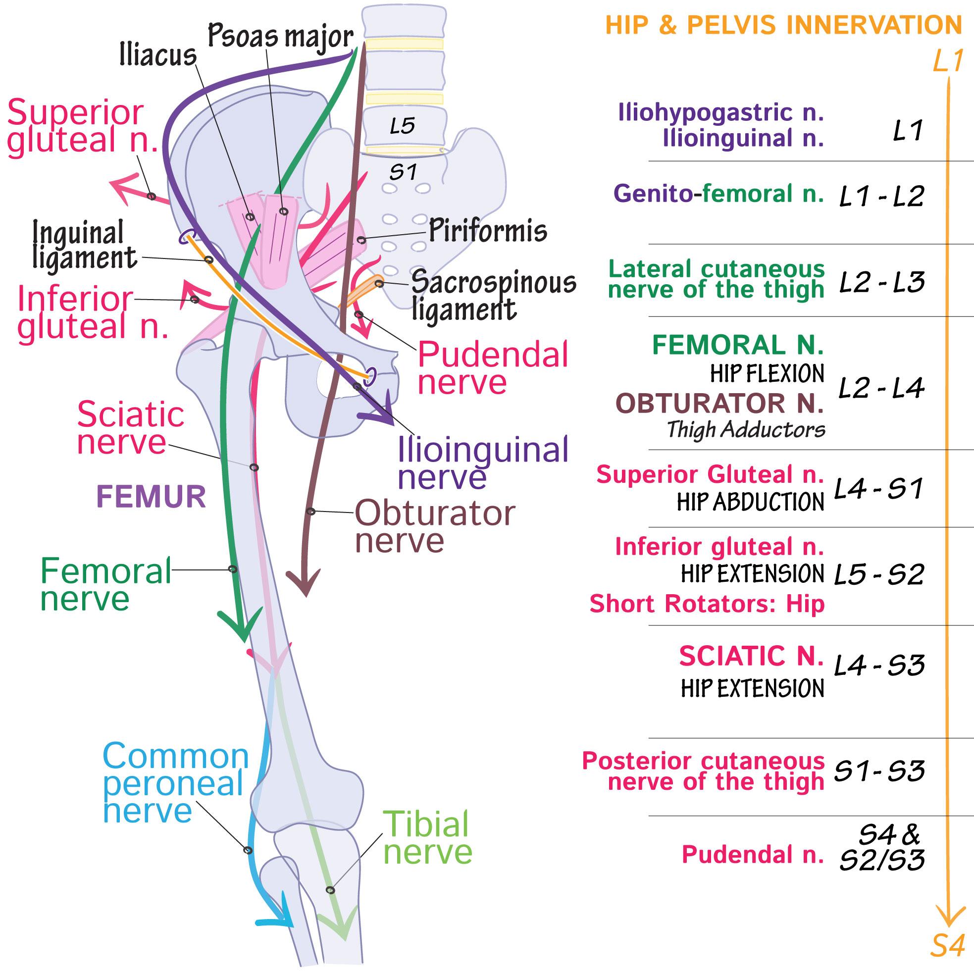 Gross Anatomy Glossary Lumbosacral Plexus Draw It To Know It