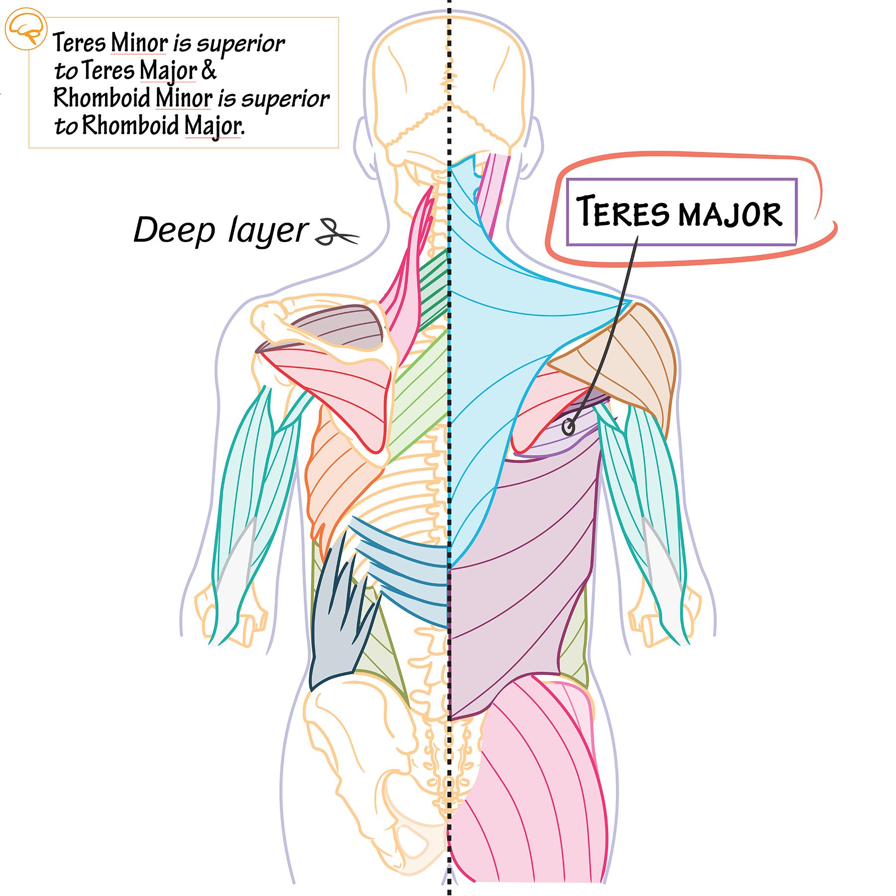 Gross Anatomy Glossary: Teres major | Draw It to Know It
