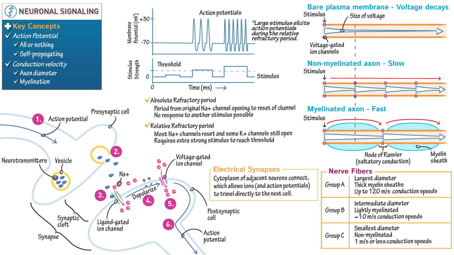 Neuroscience fundamentals neuronal signaling draw it to know it ccuart Choice Image