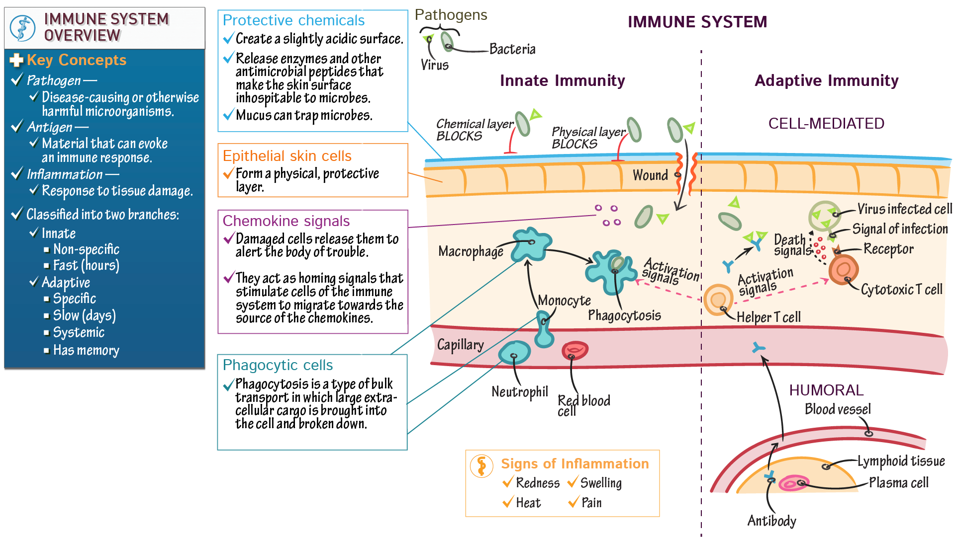 Anatomy & Physiology: Immune System Overview | Draw It to Know It