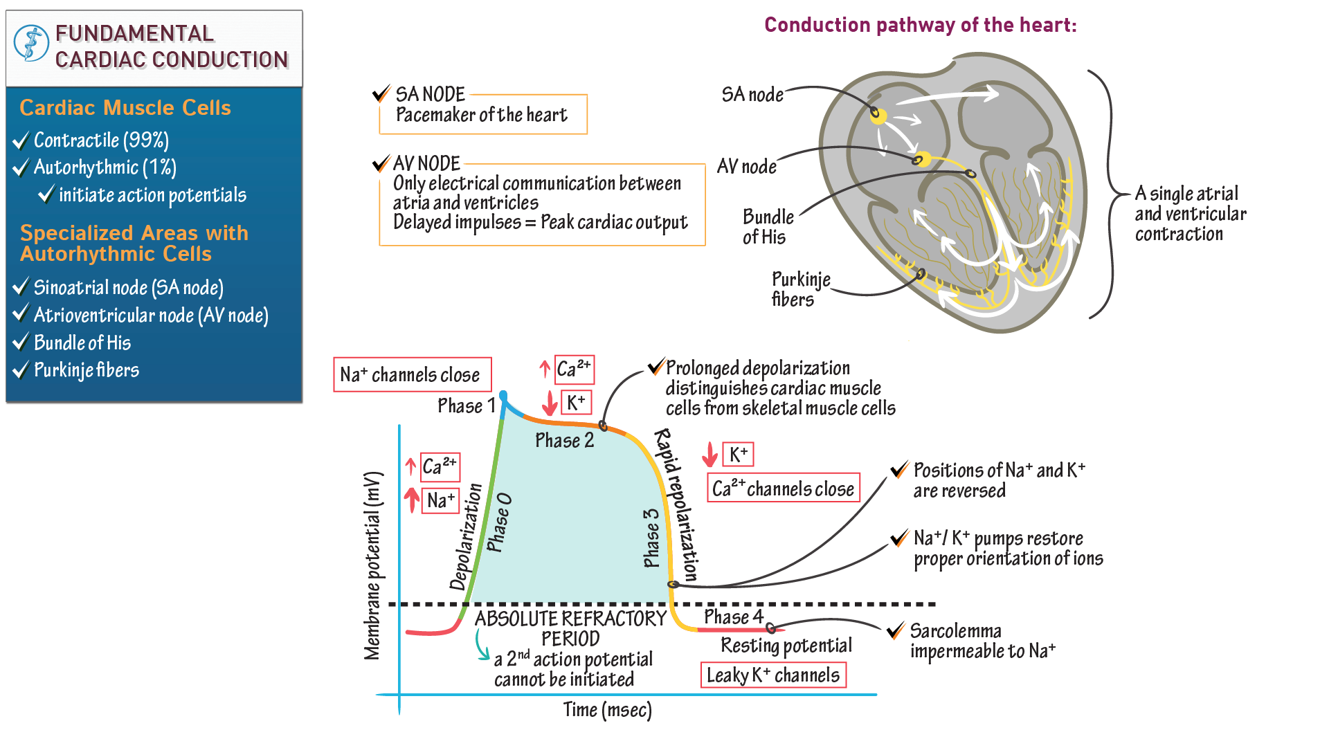Großzügig Action Potential Anatomy And Physiology Fotos - Anatomie ...