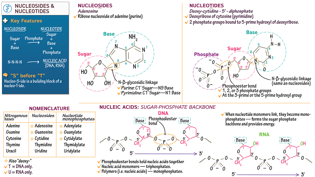 Biochemistry fundamentals nucleosides nucleotides draw it to biochemistry fundamentals nucleosides nucleotides draw it to know it ccuart Choice Image